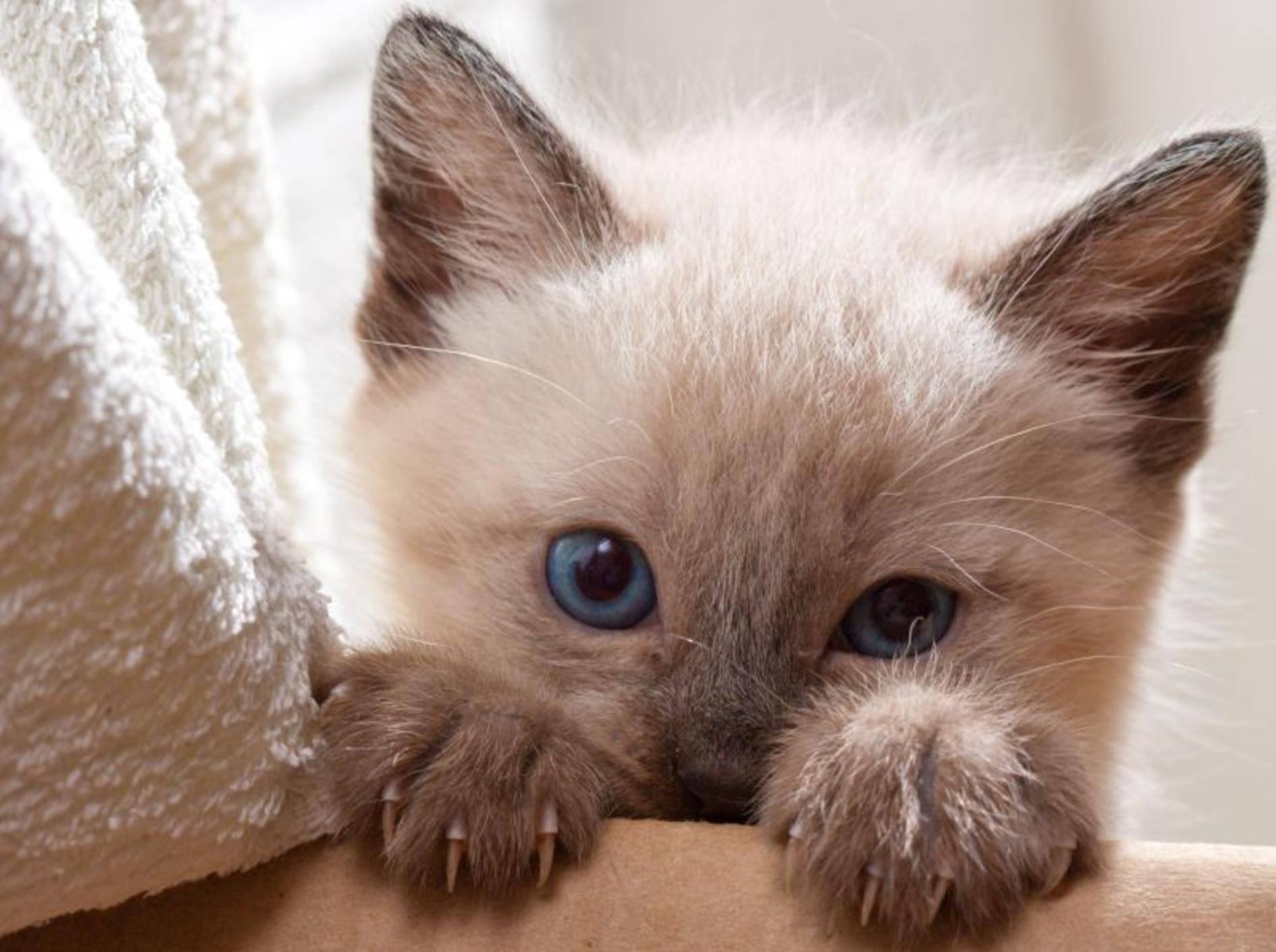 Was man mit Kartons so machen kann? Na zum Beispiel verstecken spielen, wie diese kleine Siamkatze — Bild: Shutterstock / TranceDrumer