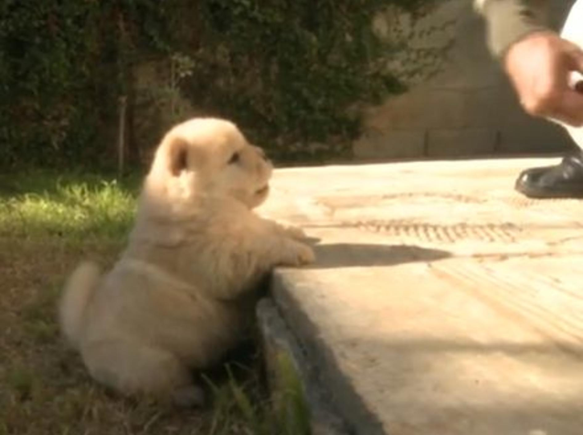 Fluffige Chow-Chows auf süßer (Garten-)Mission — Bild: Youtube / The Pet Collective
