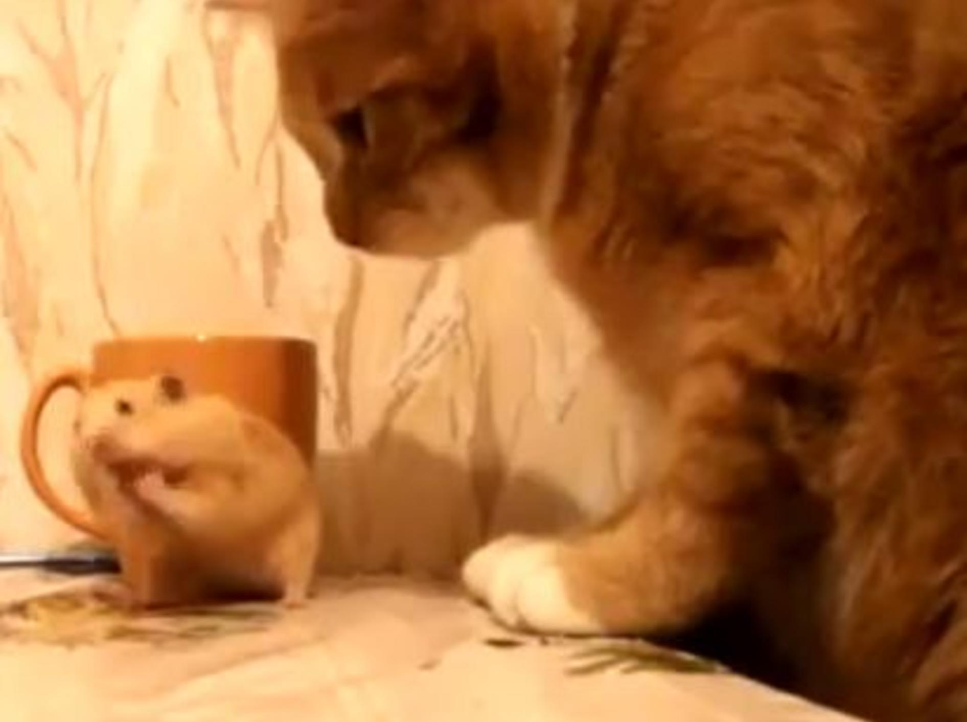 Lustige Begegnung: Nicht jede Katze ist ein Hamsterschreck — Bild: Youtube / ignoramusky