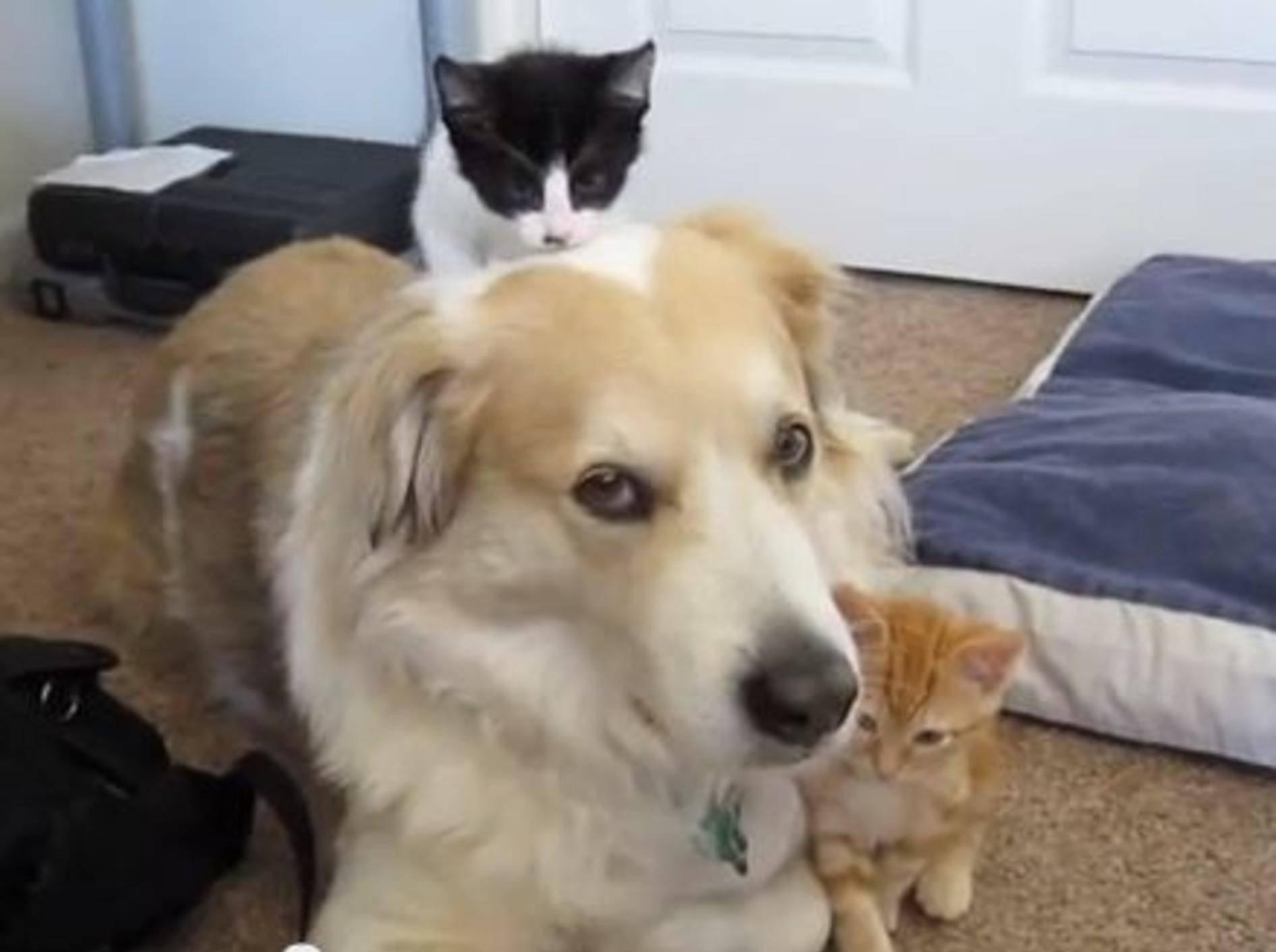 Geduldiger Hund spielt Babysitter für eine Katzenbande — Bild: Youtube / dcjanelle