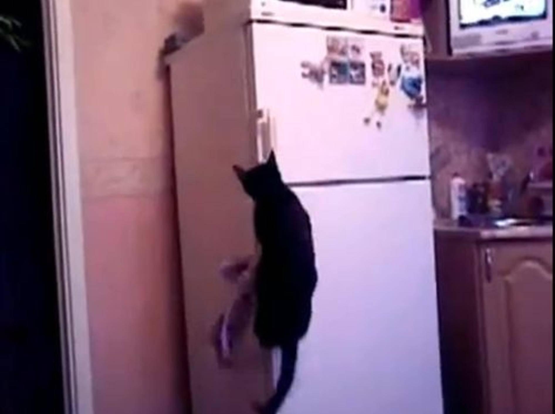 Indiana-Jones-Katze zeigt, wie man ein Eisfach öffnet — Bild: Youtube / kotenokmasha