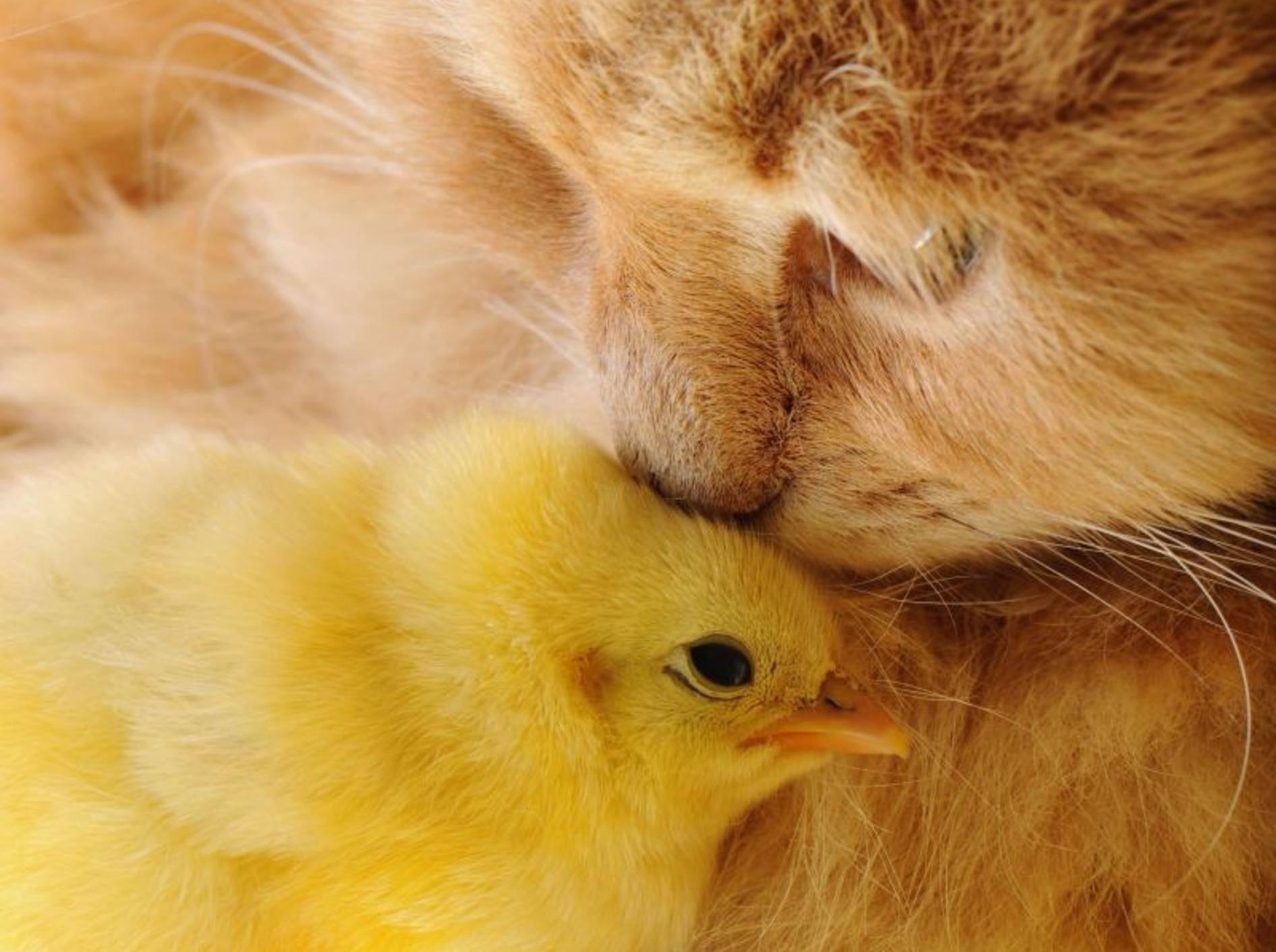 Bussi aufs Köpfchen! Freundschaft zwischen Küken und Katze — Bild: Shutterstock / Vinogradov Illya