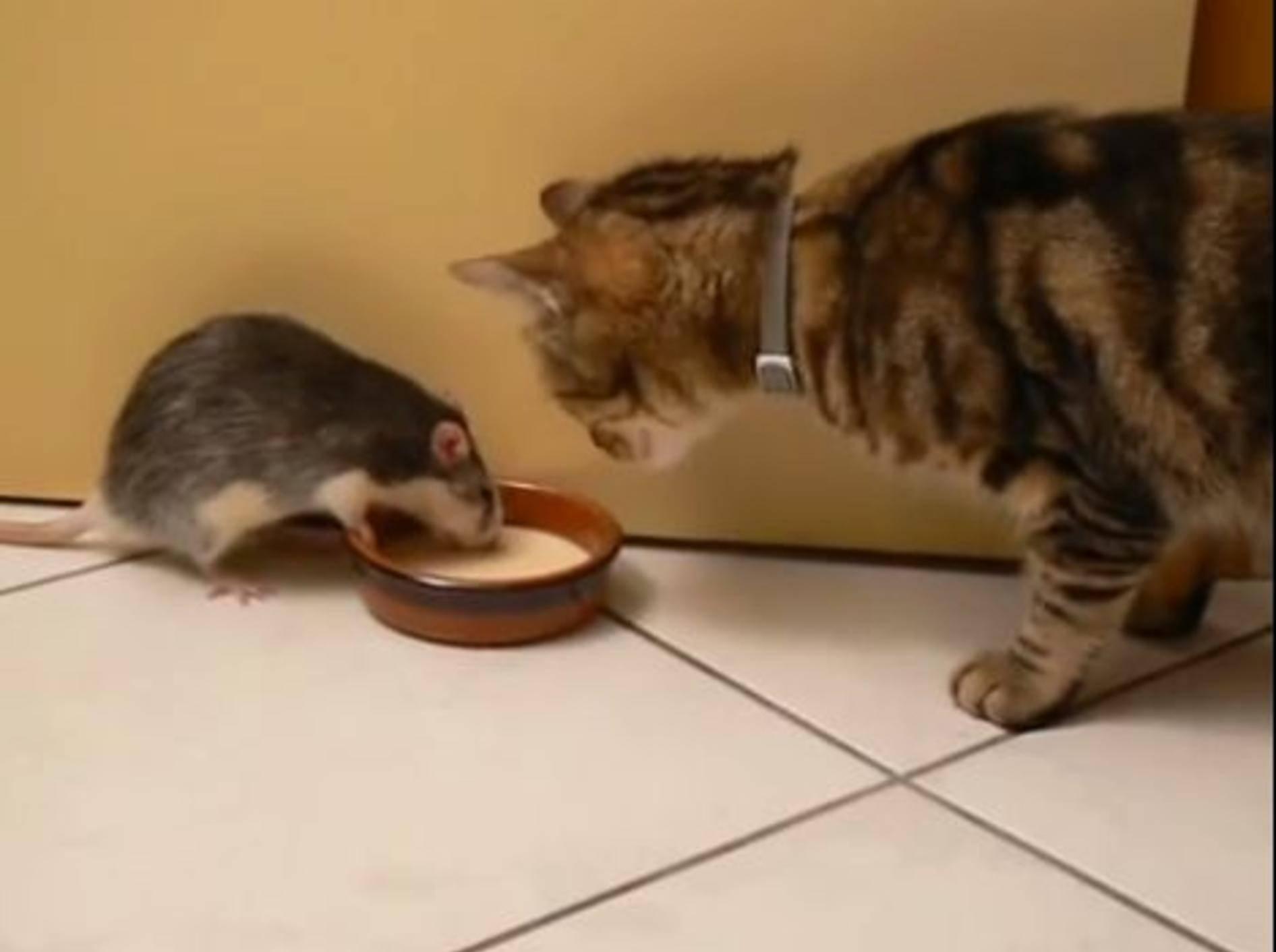 Keine Angst vor Katzen: Lustige Ratte teilt nicht gern — Bild: Youtube / alfyska