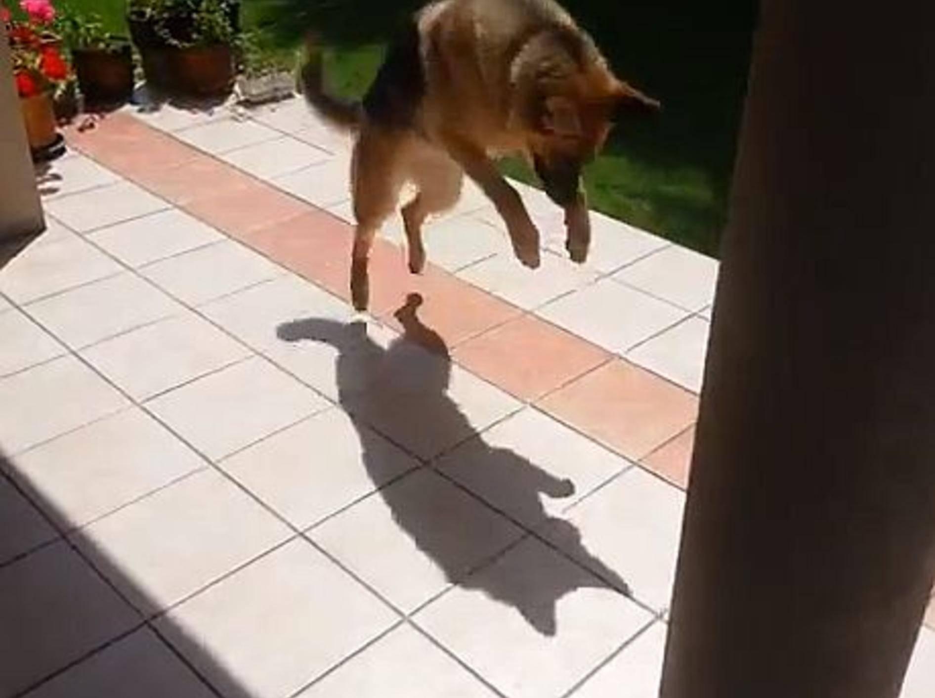 Lustiger Schäferhund legt sich mit seinem Schatten an — Bild: Youtube / gran fatha