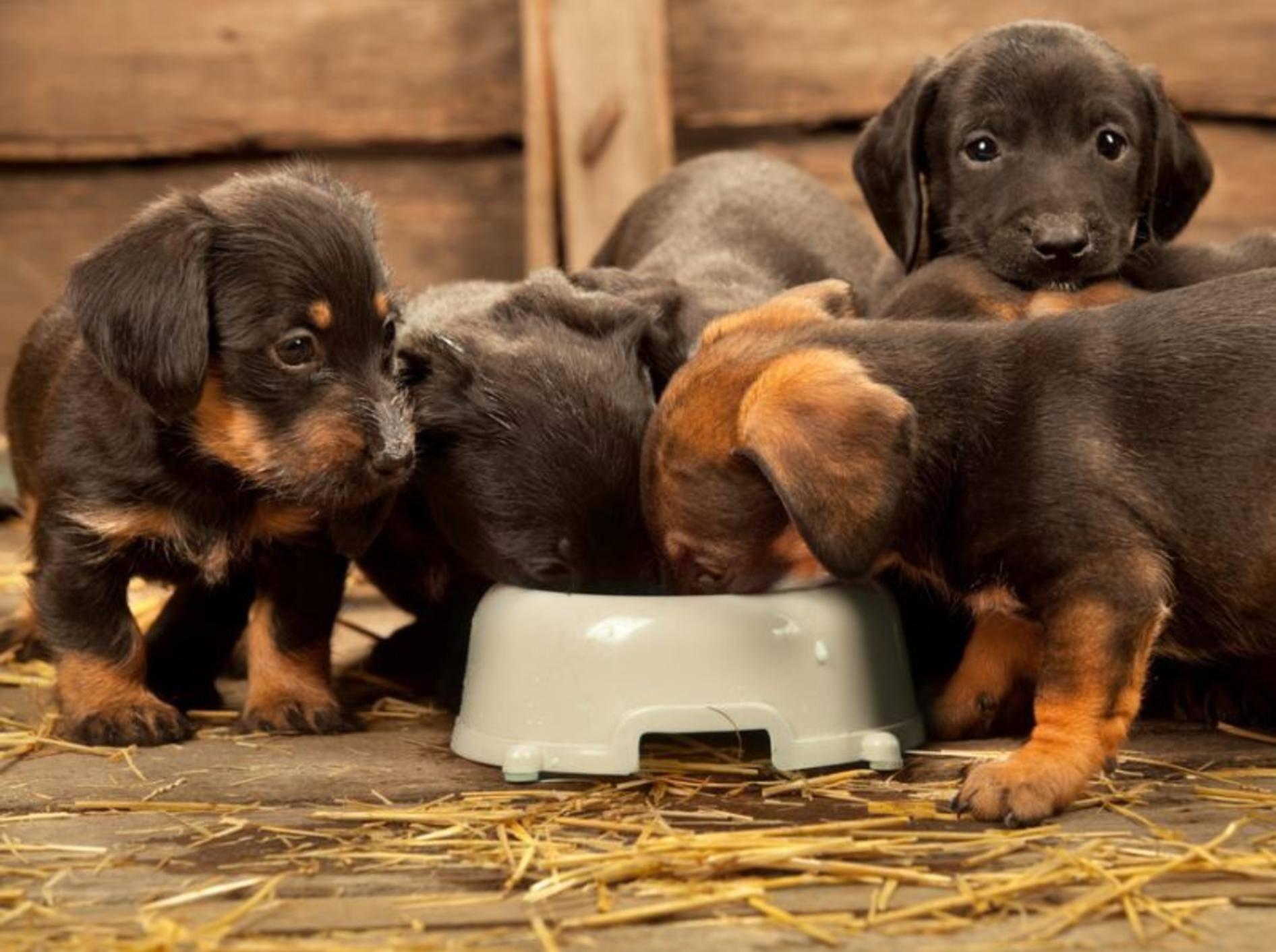 Woran erkennt man das richtige Futter für Welpen? — Bild: Shutterstock / Wallenrock