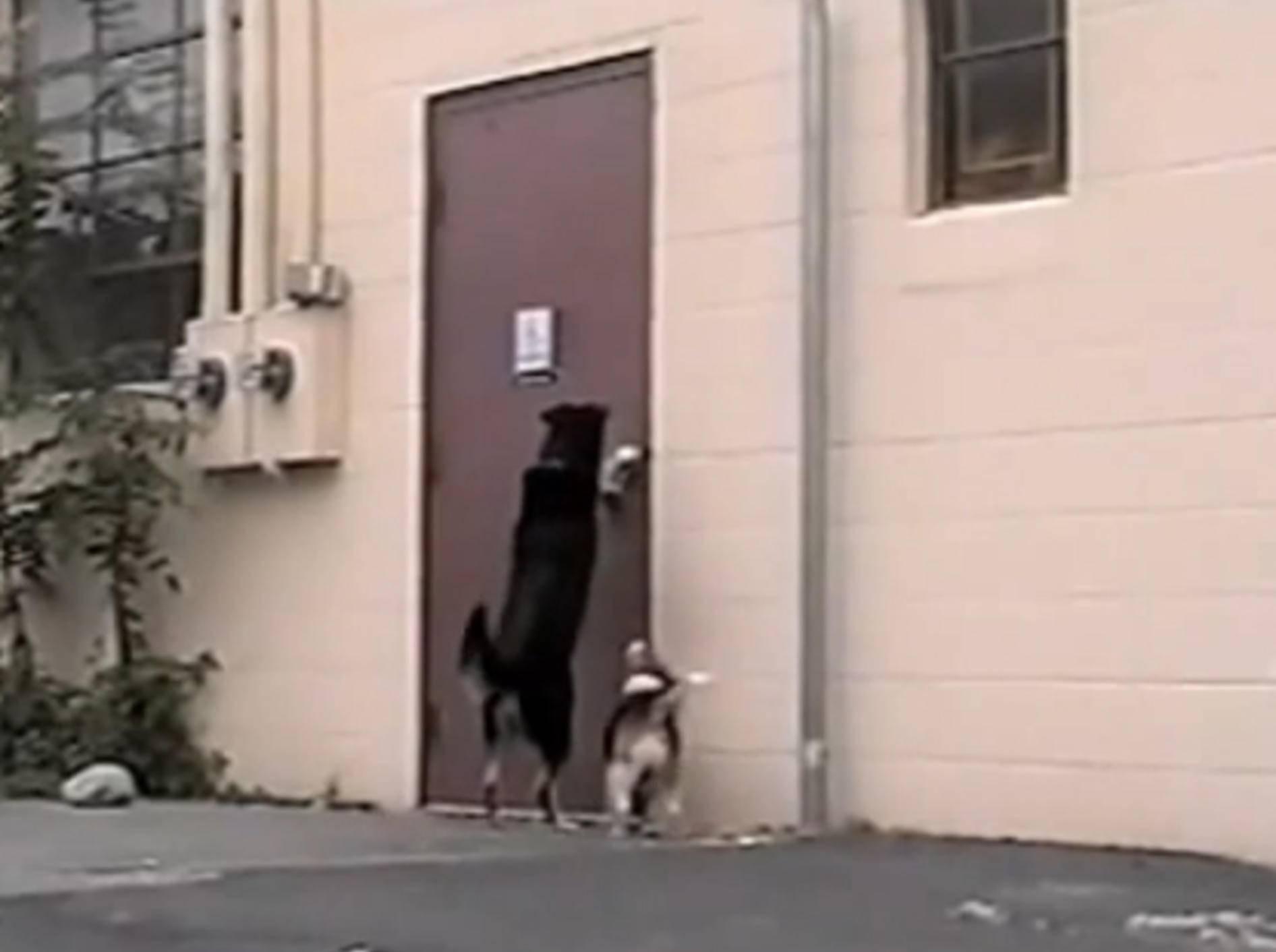 Dreibeiniger Hund öffnet Beagle die Tür