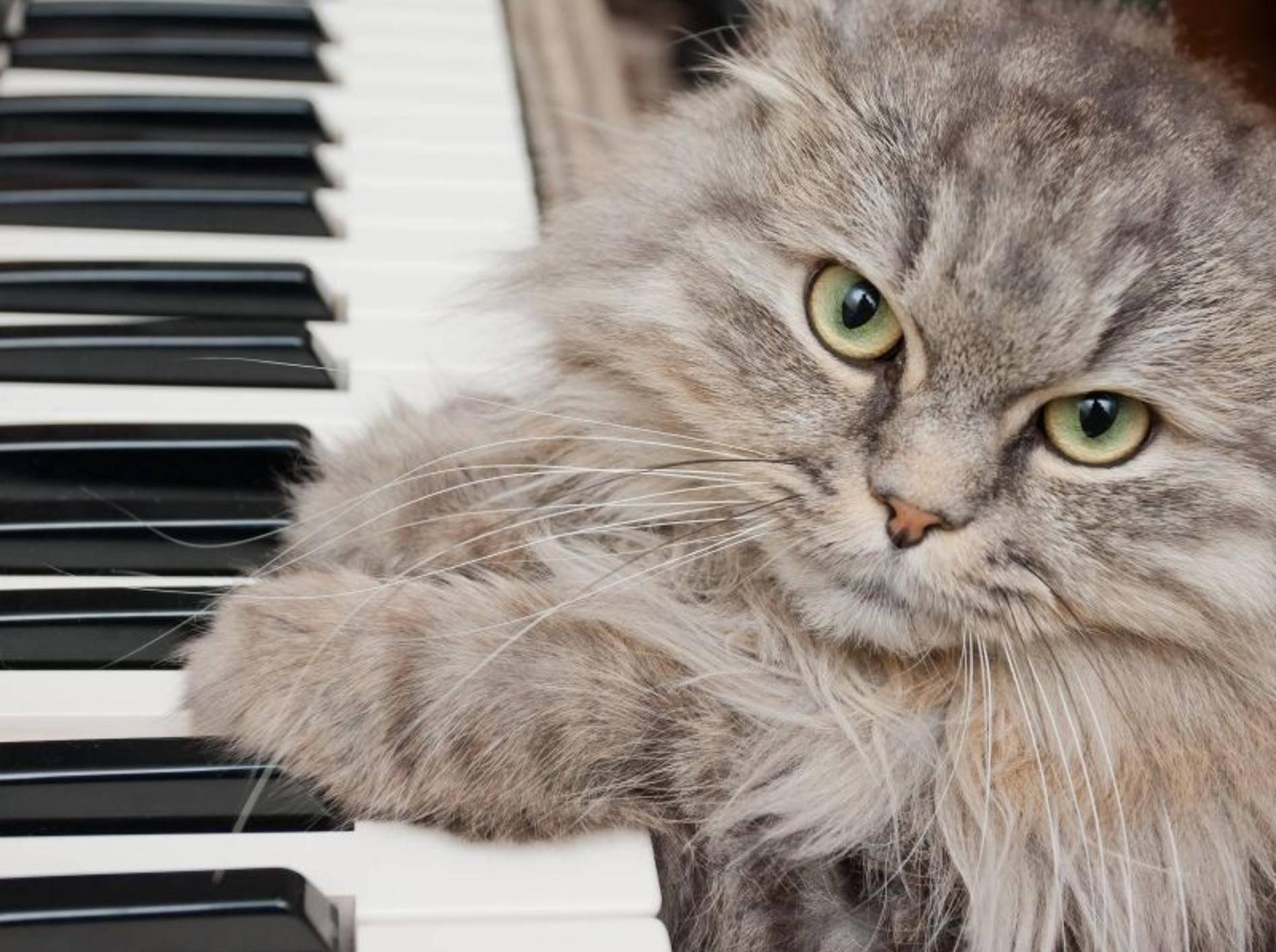 """""""Seid mal ehrlich, spiel ich gut?"""" Flauschige Katze am Klavier — Bild: Shutterstock / Telekhovskyi"""