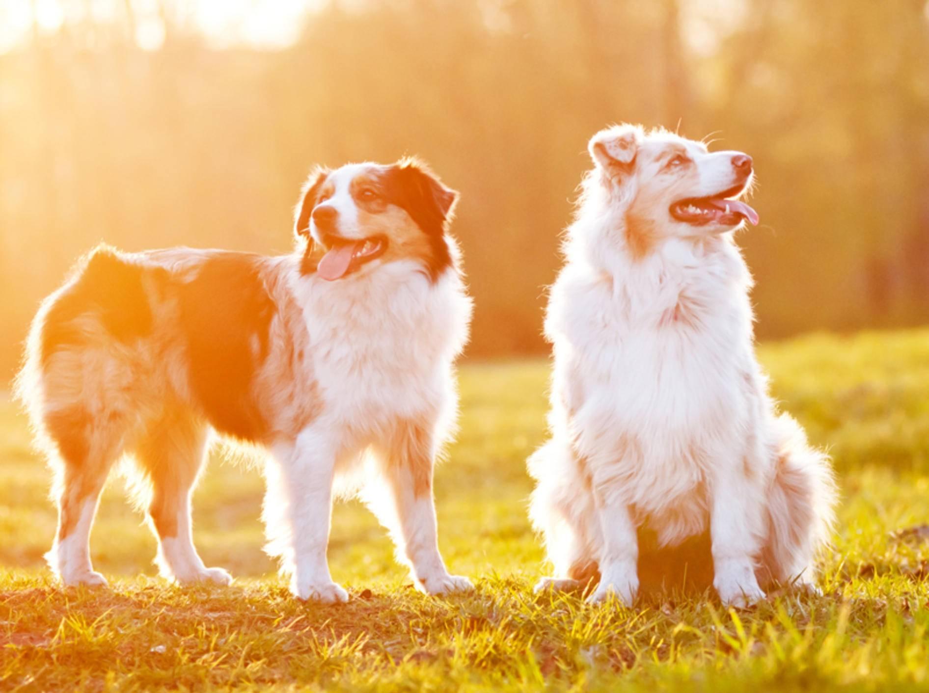 Bei großer Hitze sollten Sie Ihren Hund pflegen und für Abkühlung sorgen