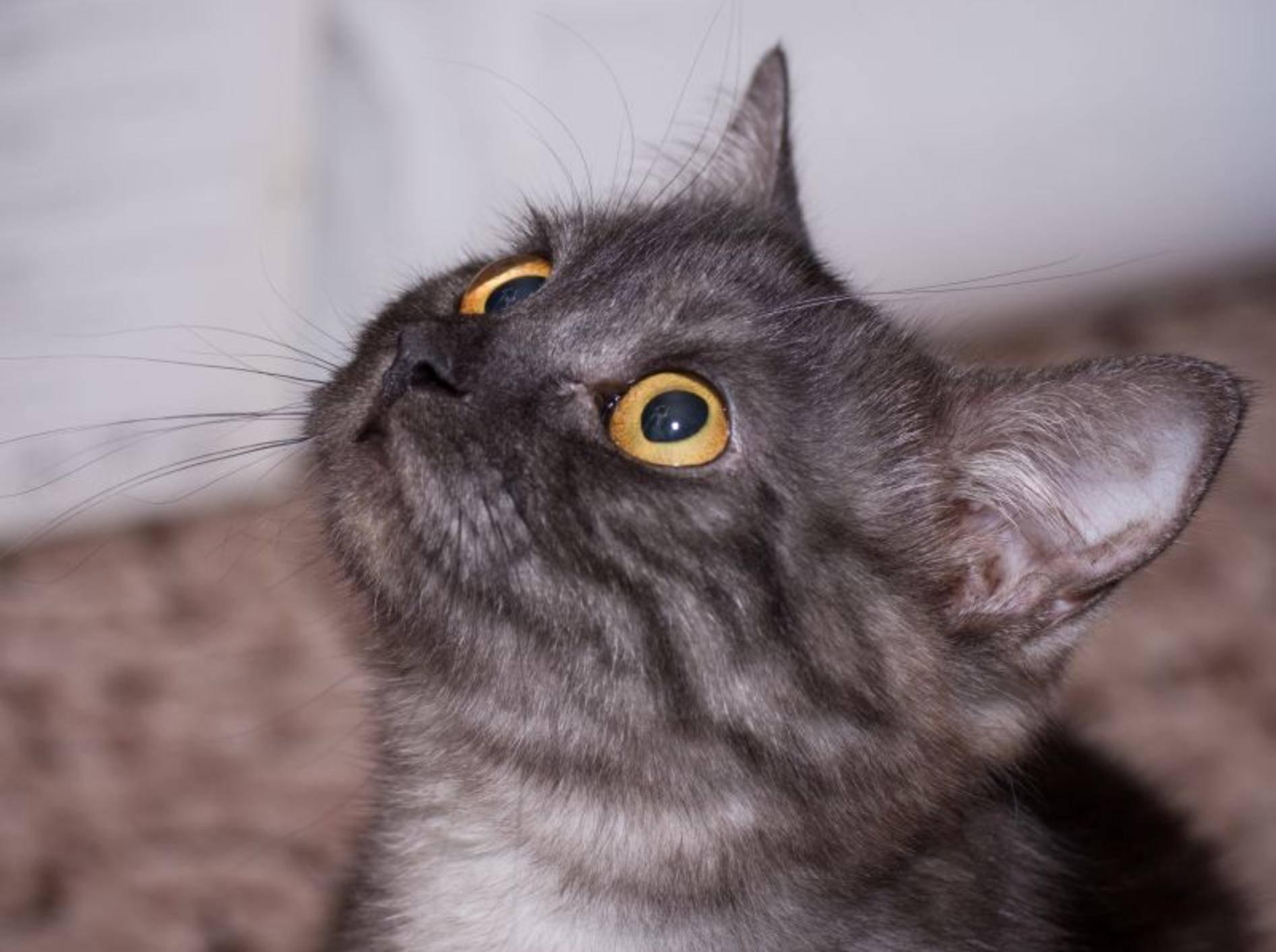 """Erziehung von Katzen: Das Kommando """"Nein"""" sollten alle Stubentiger kennen — Bild. Shutterstock / Pugovica88"""