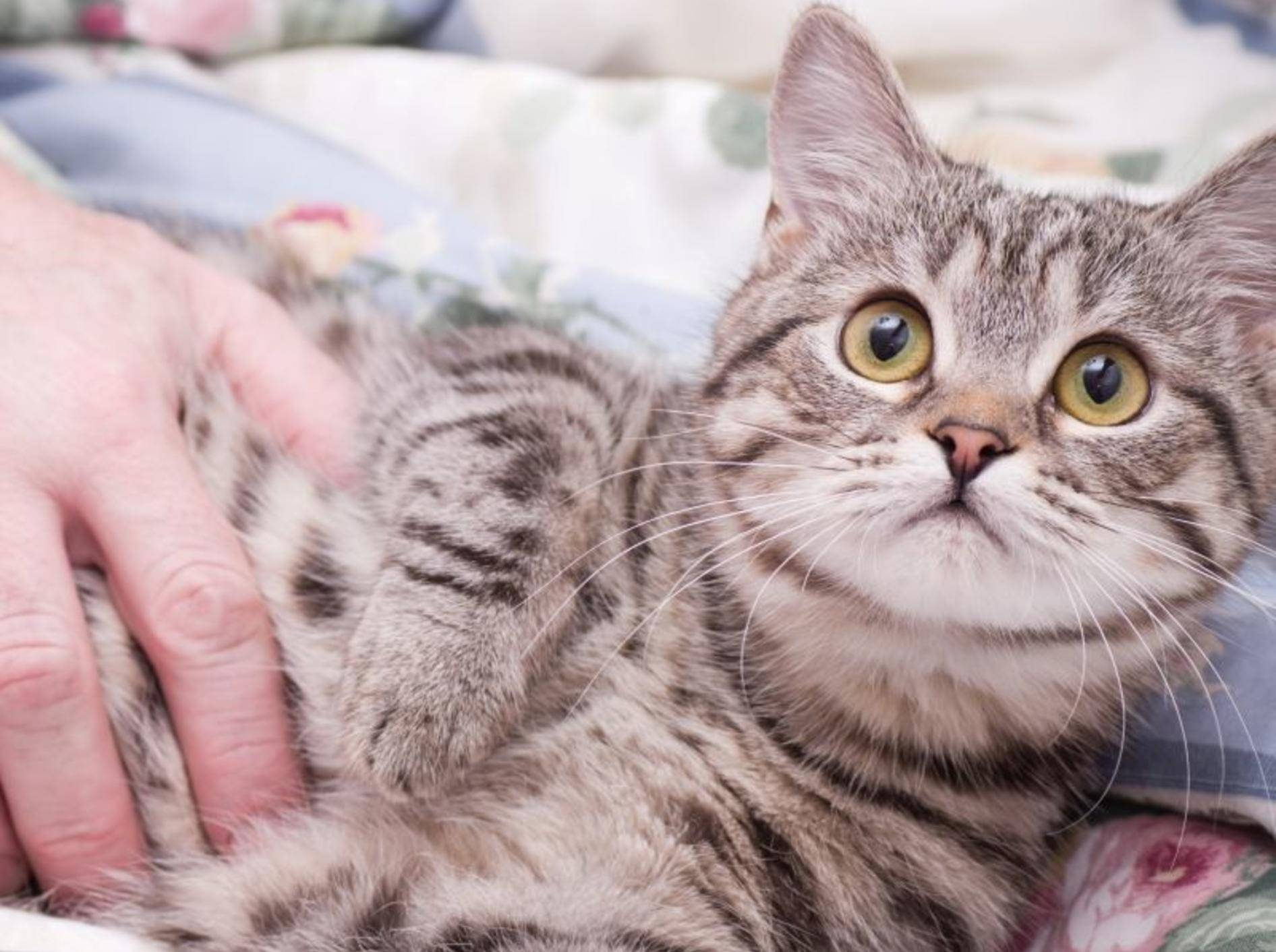 Flohmittel für Katzen können Sie auch zu Hause auftragen — Bild: Shutterstock / Pugovica88