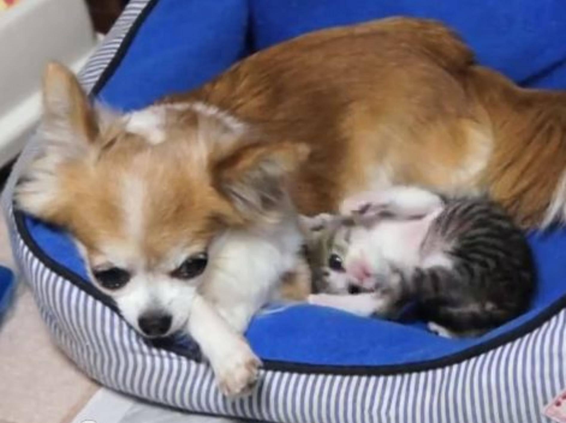 Ohagi und der Chihuahua: Wo die Liebe hinfällt — Bild: Youtube / MAKO0MAKO0