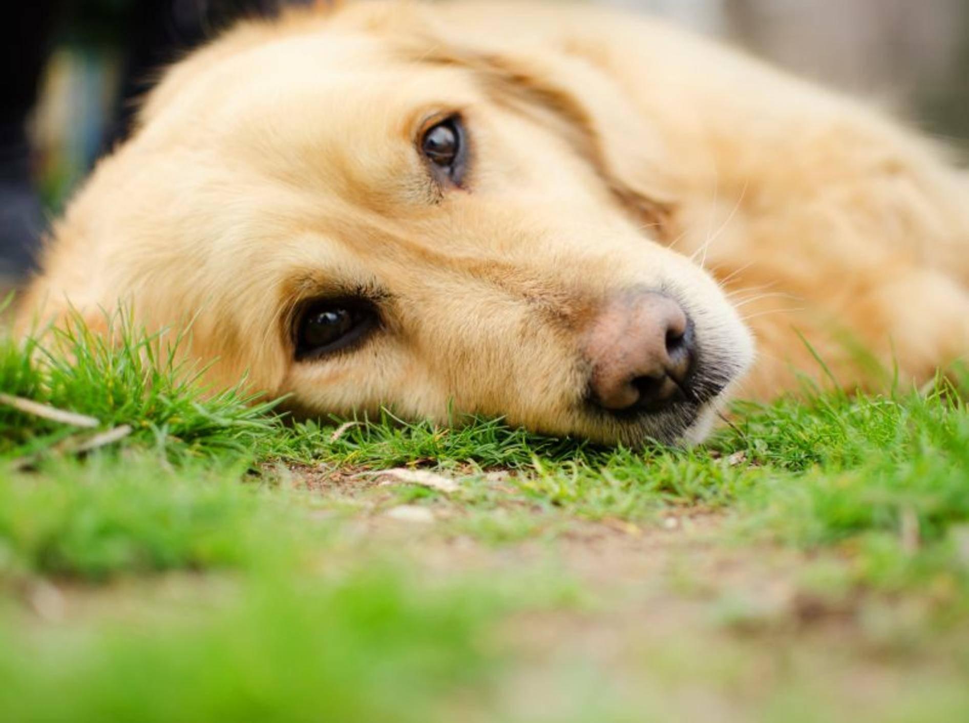 Epilepsie bei Hunden: Die Symptome treten bei bestimmten Rassen wie Golden Retrievern häufiger auf — Bild: Shutterstock / Malija
