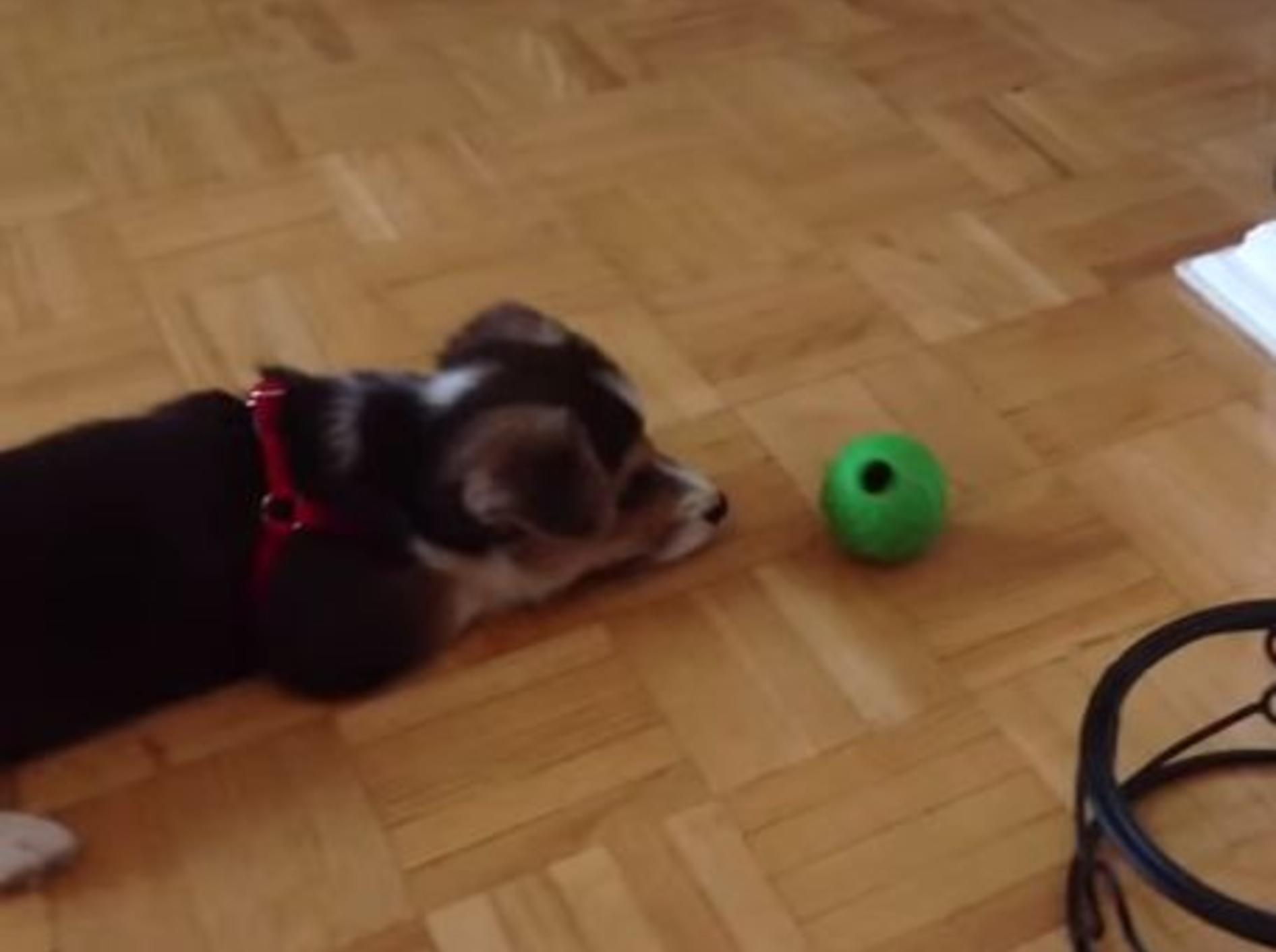 Wie süß: Zwei Tiere lieben ihren grünen Ball — Bild: Youtube / sandonabeachbythesea