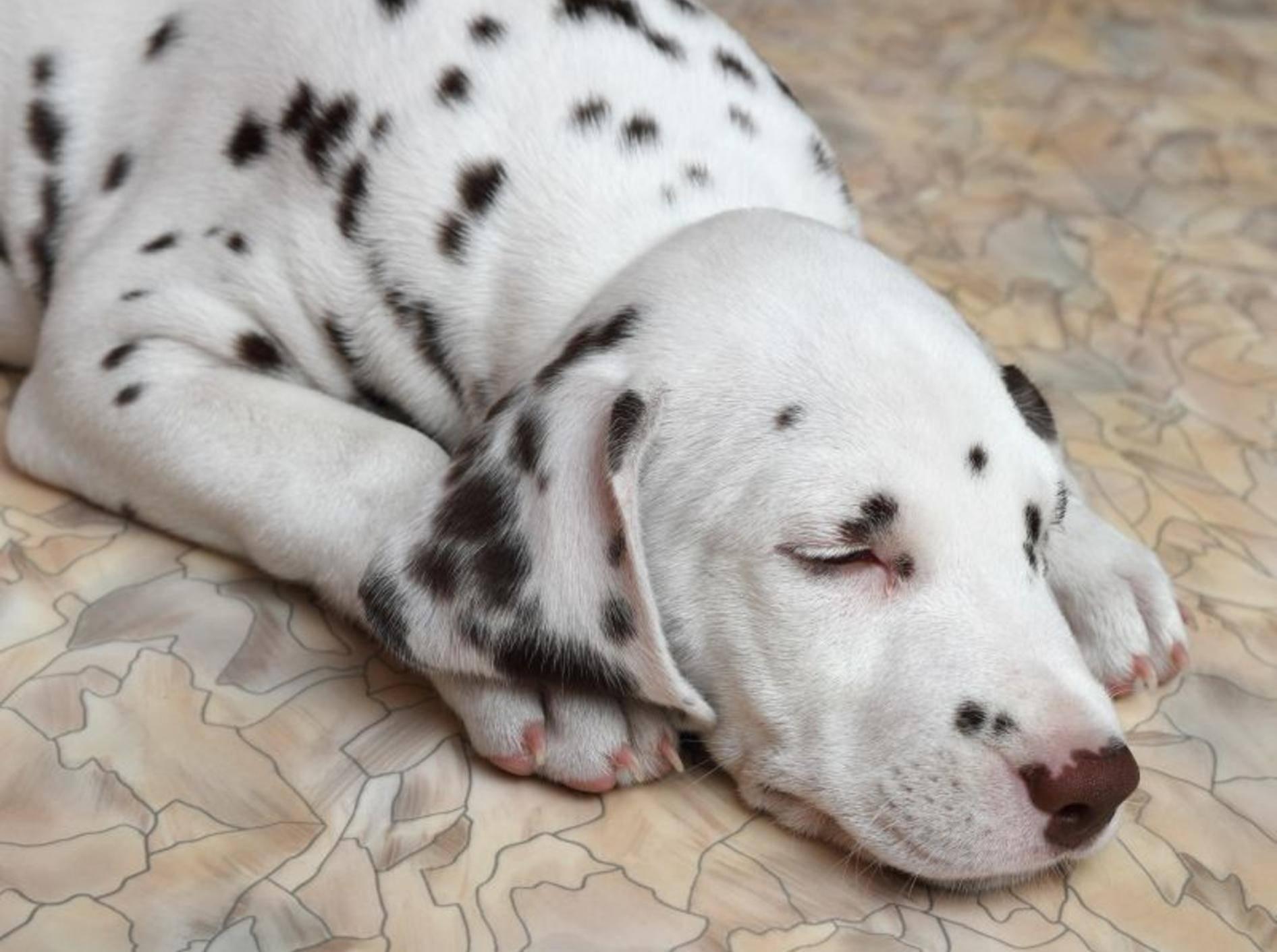 Fieber bei Hunden: Erkrankte Tiere sind müde und abgeschlagen — Bild: Shutterstock / Konjushenko Vladimir