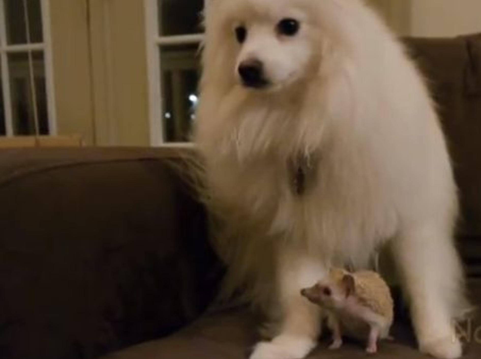 Hund und Igel: Wollen wir Freunde werden? — Bild: Youtube / dope2111