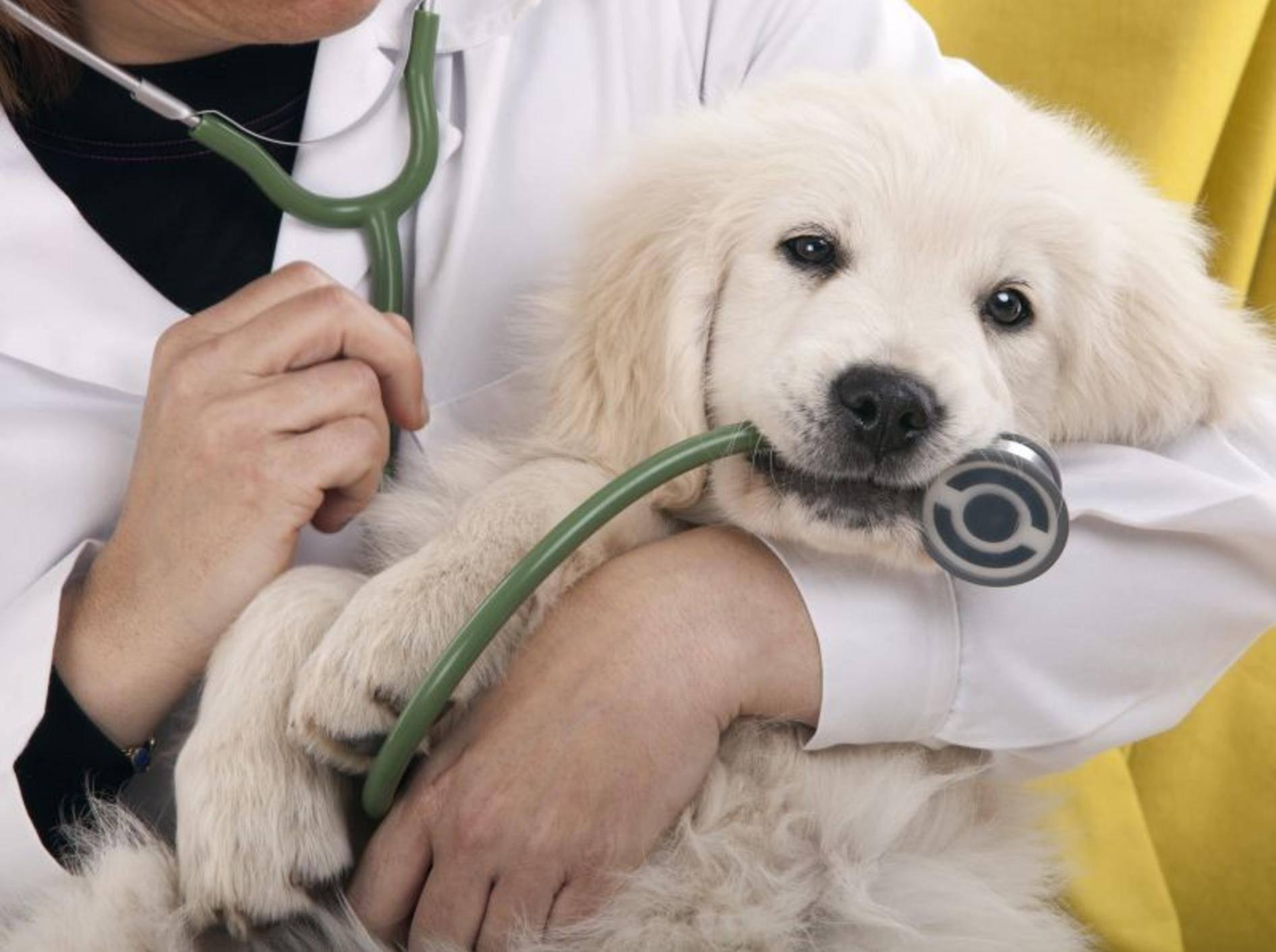 Hunde mit Diabetes: Diagnose und Behandlung erfolgt beim Tierarzt — Bild: Shutterstock / Roger costa morera