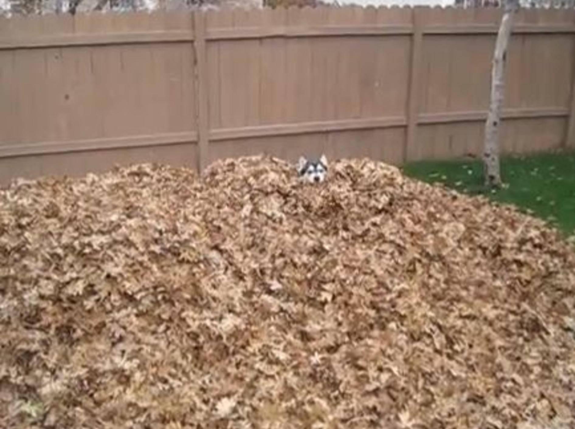 Ein Husky präsentiert: Herbst-Spaß im Blätterhaufen — Bild: Youtube / Kent Petersen·