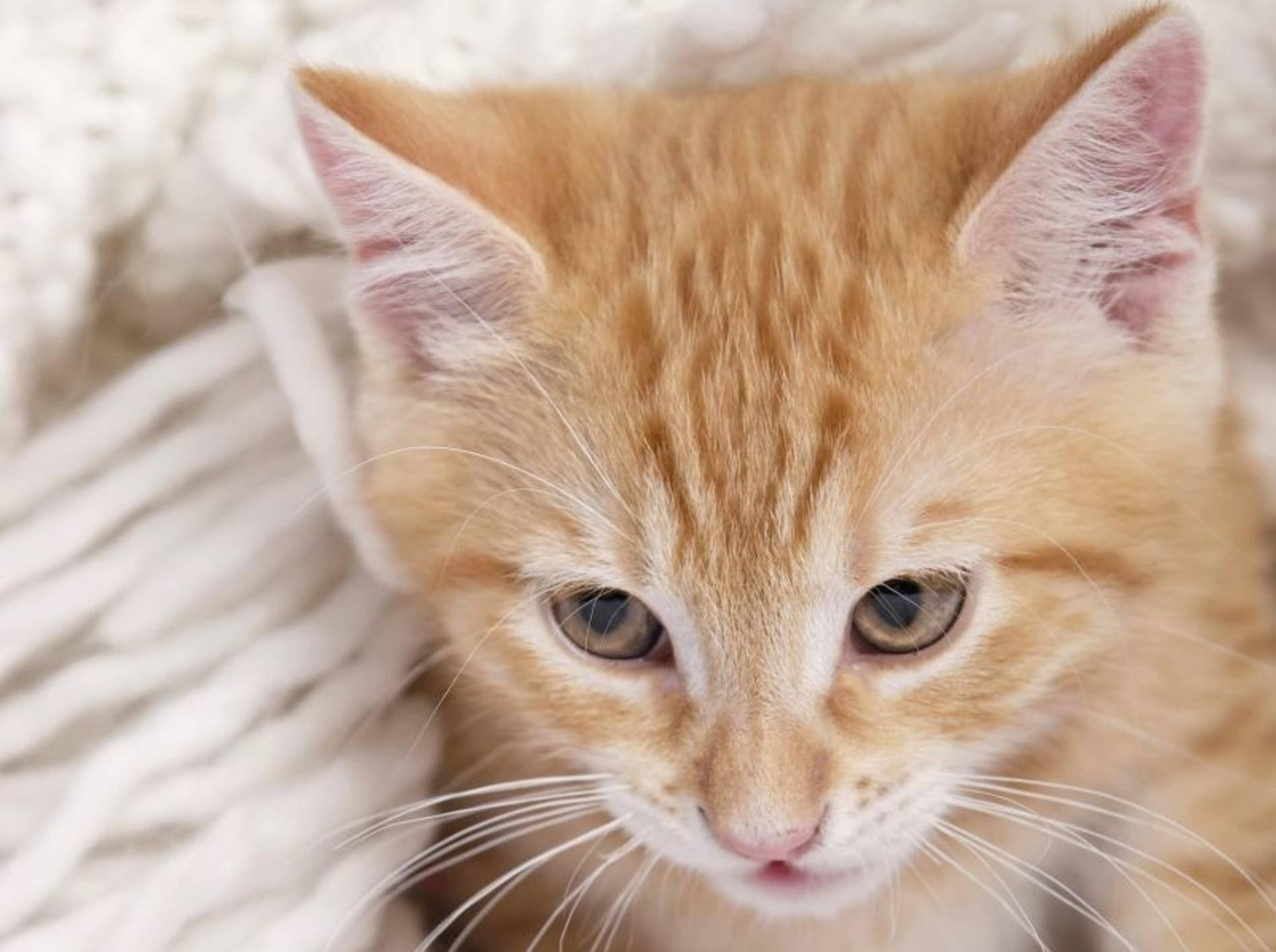 Asthma bei Katzen äußert sich durch Husten und Atemnot — Bild: Shutterstock / Hannes Eichinger