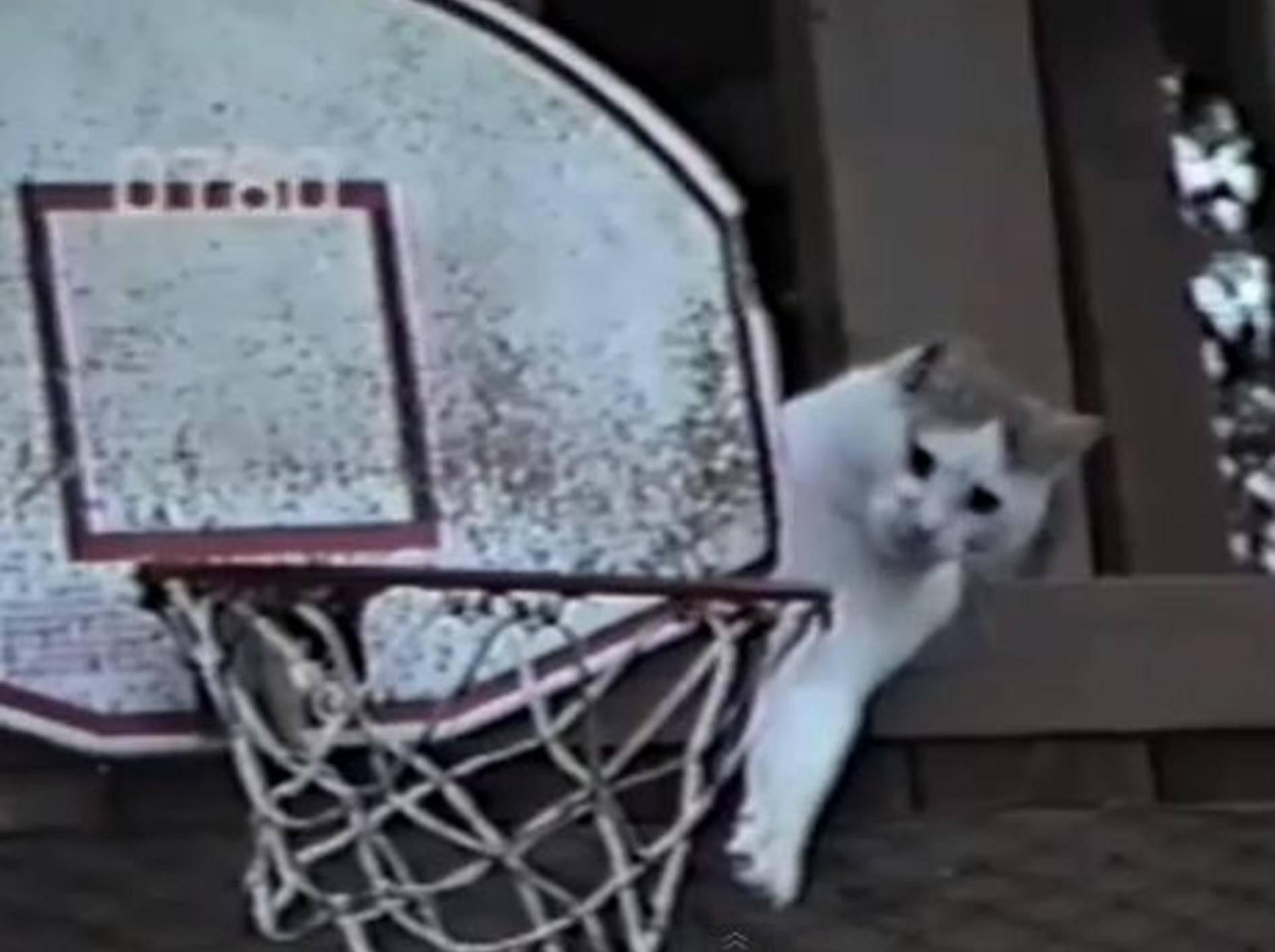 Sportliche Katze ist der süßeste Basketball-Profi der Welt — Bild: Youtube / Petsami
