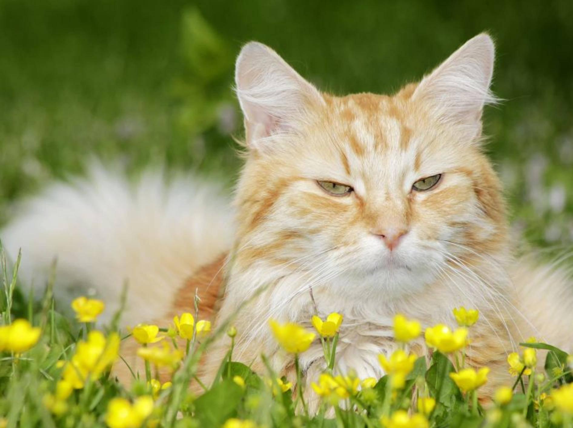 Bachblüten für Katzen erfreuen sich in letzter Zeit einer immer größeren Beliebtheit — Bild: Shutterstock / Aleksei Verhovski