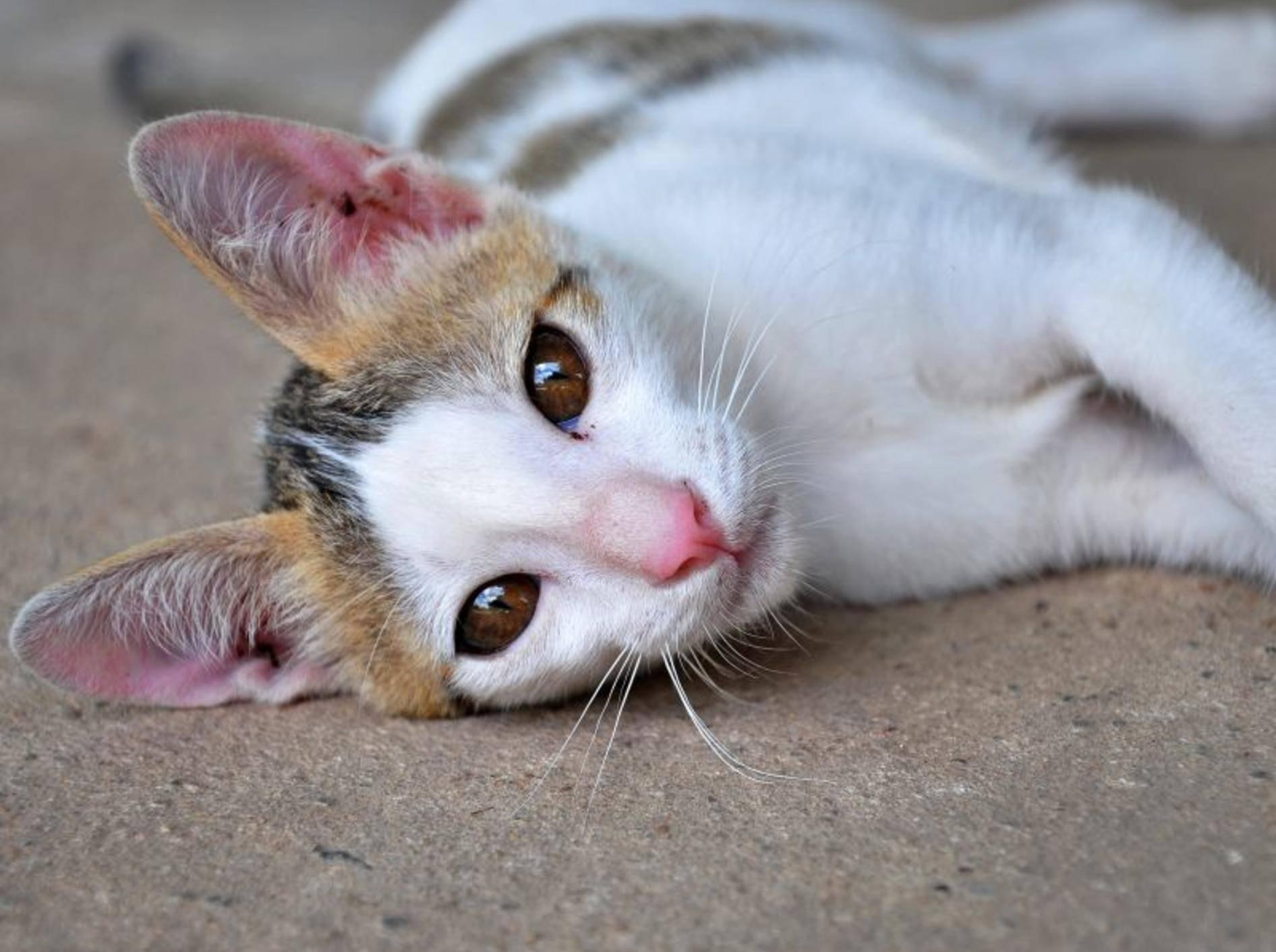 Epilepsie bei Katzen: Nach abklingen der Symptome ist die Katze geschwächt — Bild: Shutterstock / OLOS