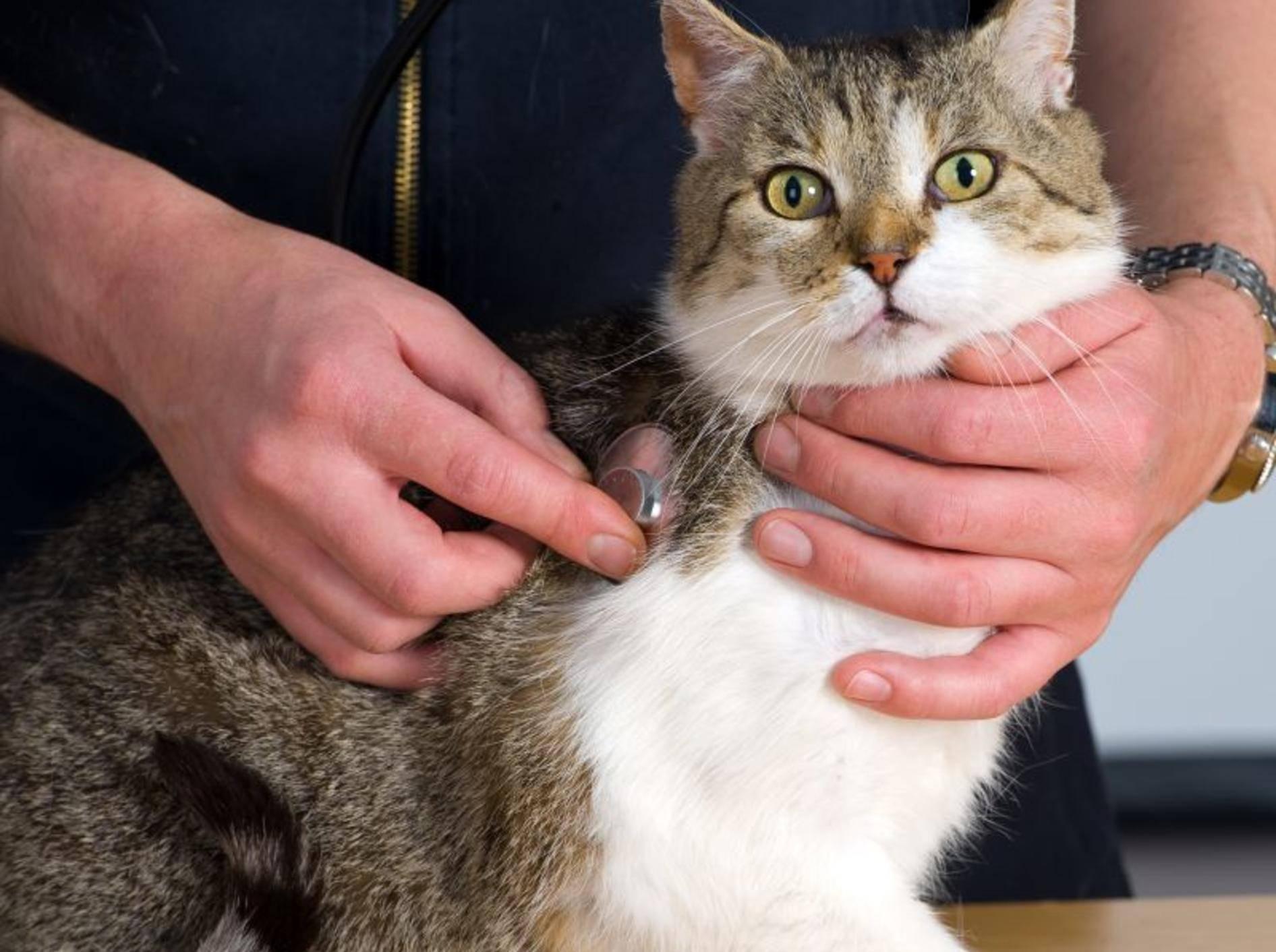 Bei Katzen mit Asthma werden vom Tierarzt gründlich untersucht — Bild: Shutterstock / Firma V