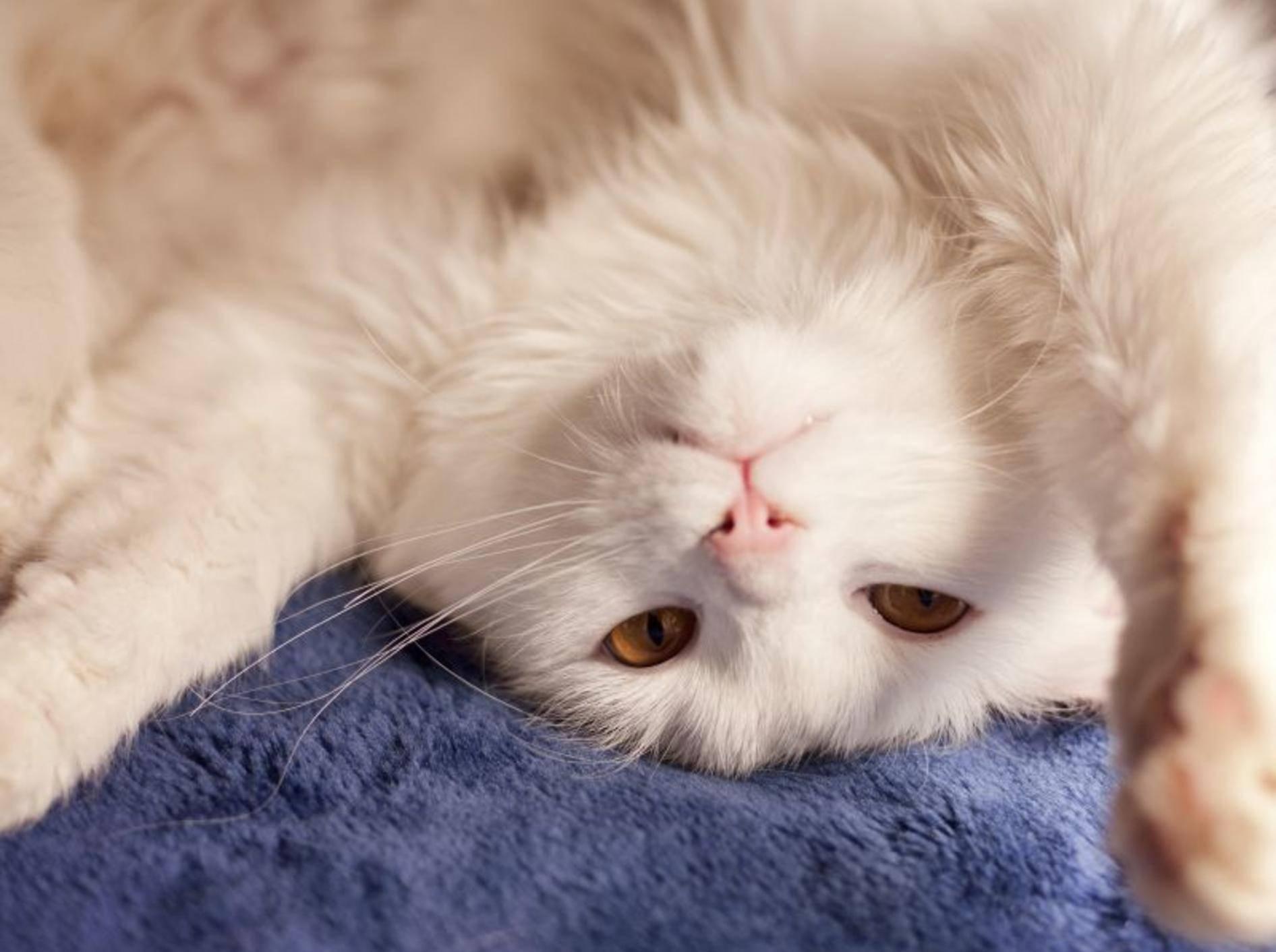 Langhaarkatzen pflegen: 5 Tipps gegen Knoten im Fell — Bild: Shutterstock / DreamBig
