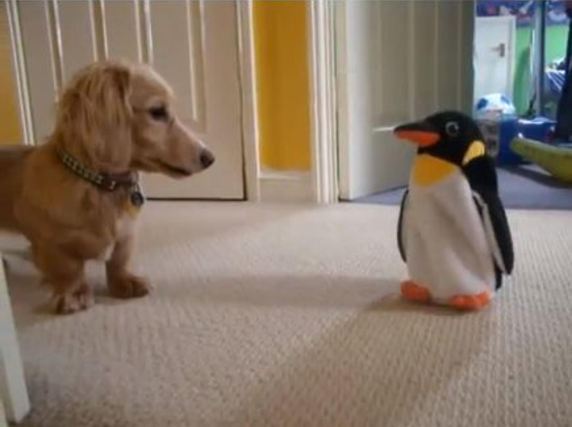 Spielspaß für lustige Hunde: Der Dackel und der Pinguin — Bild: Youtube / dachlovers