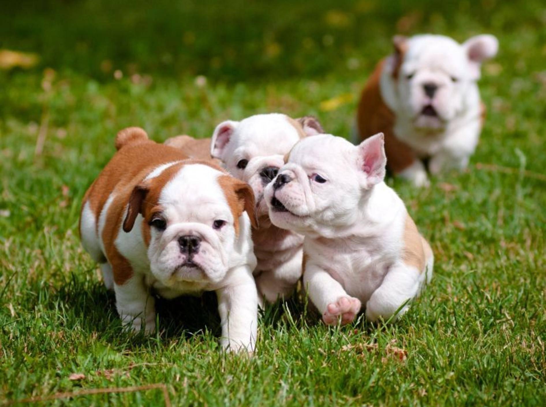 Ein schöner Ausflug nach draußen: So sehen Englische Bulldoggen in klein aus — Bild: Shutterstock / otsphoto
