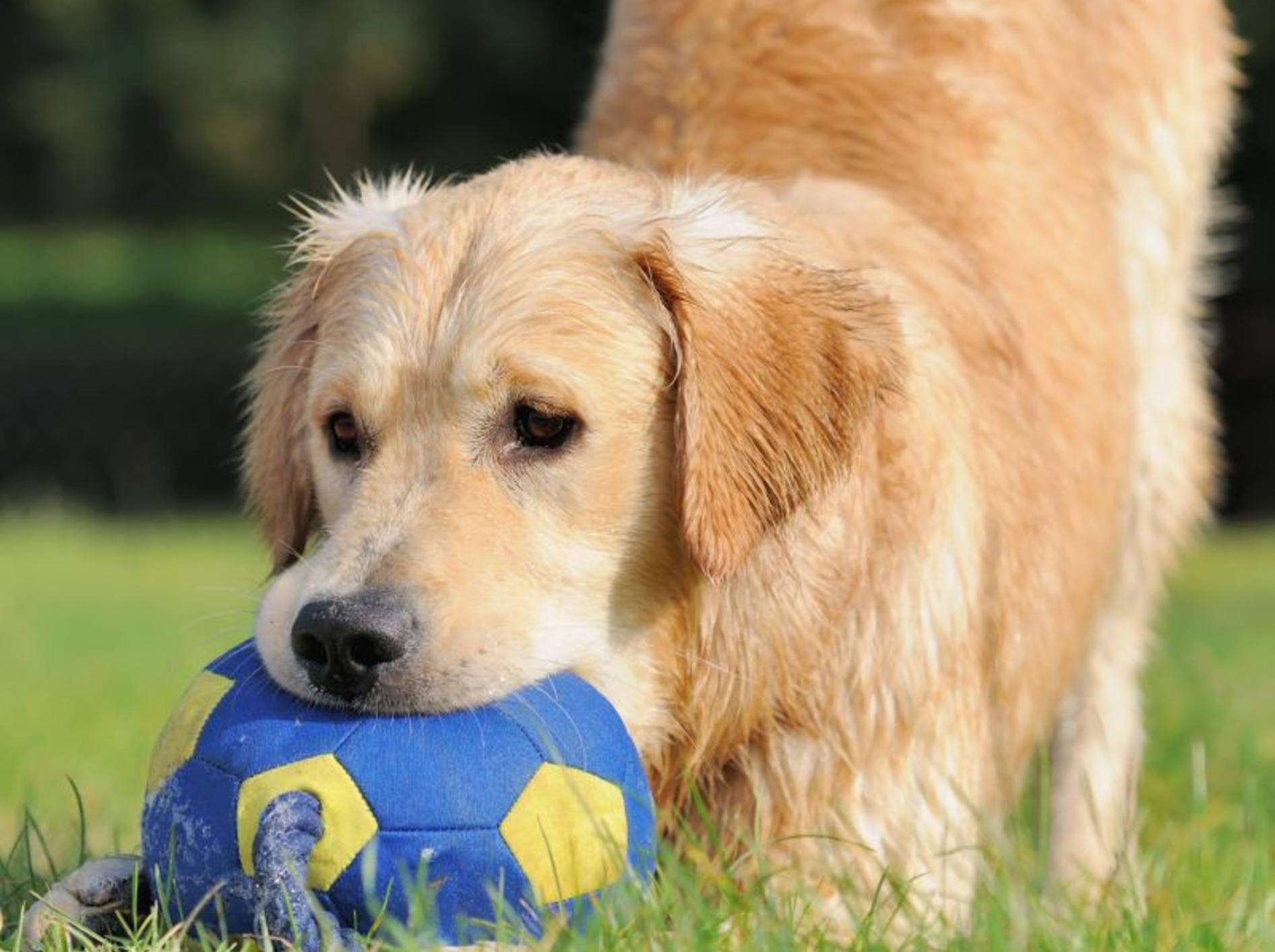 Super Trick: Ein Golden Retriever räumt auf — Bild: Shutterstock / AnetaPics