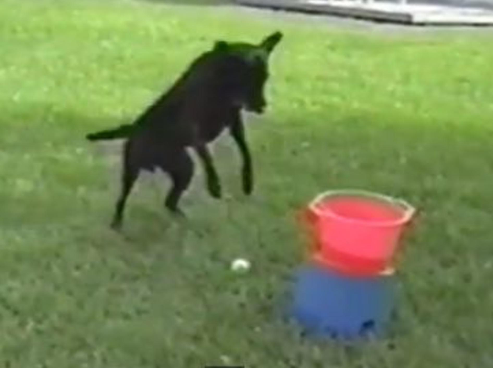 Süßer Hund: Ich liebe meine Ballwurfmaschine!!! — Bild: Youtube / Petsami