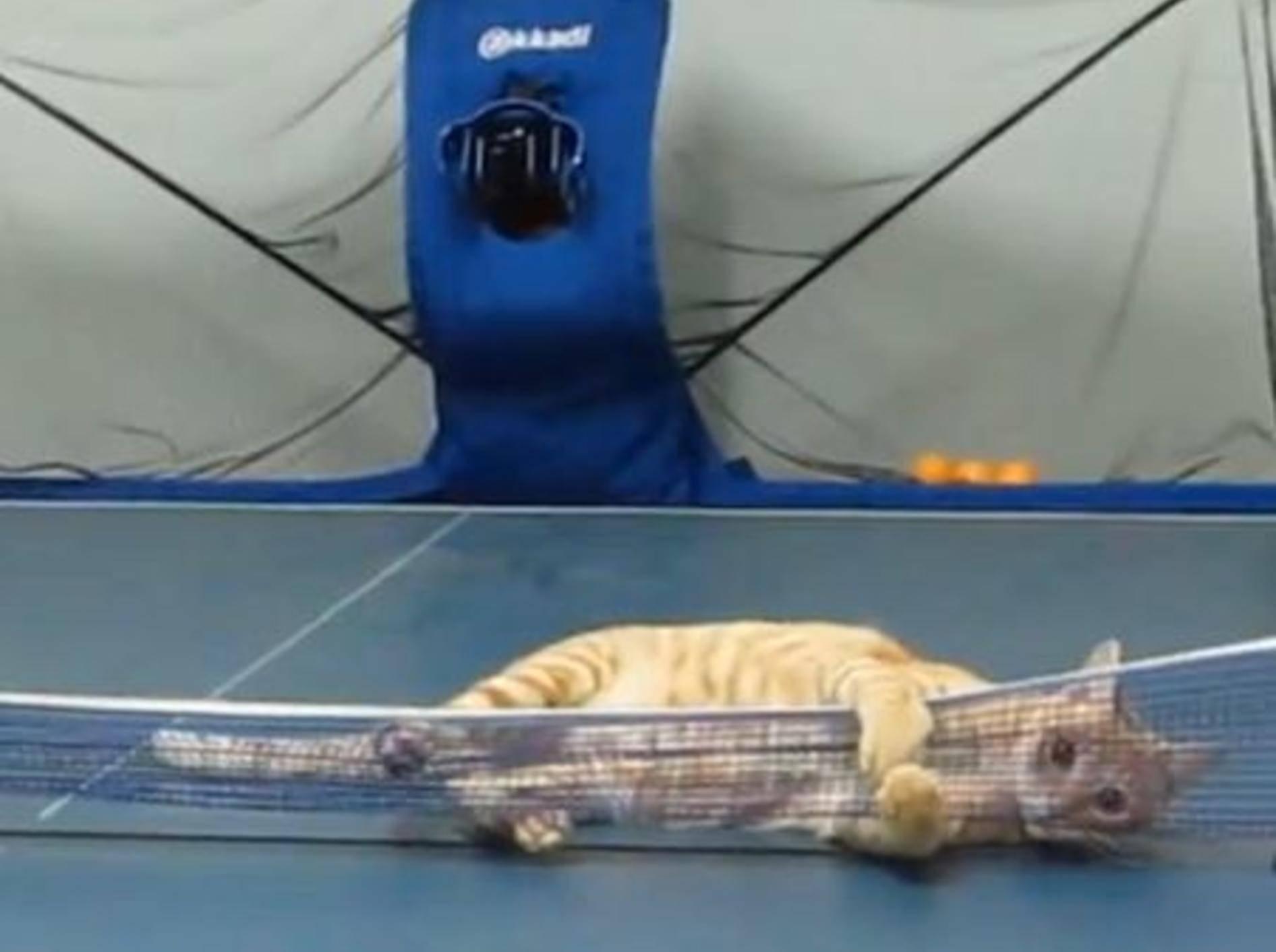 Ping-Pong-Match mit einer Katze gefällig? — Bild: Youtube / cat huang·