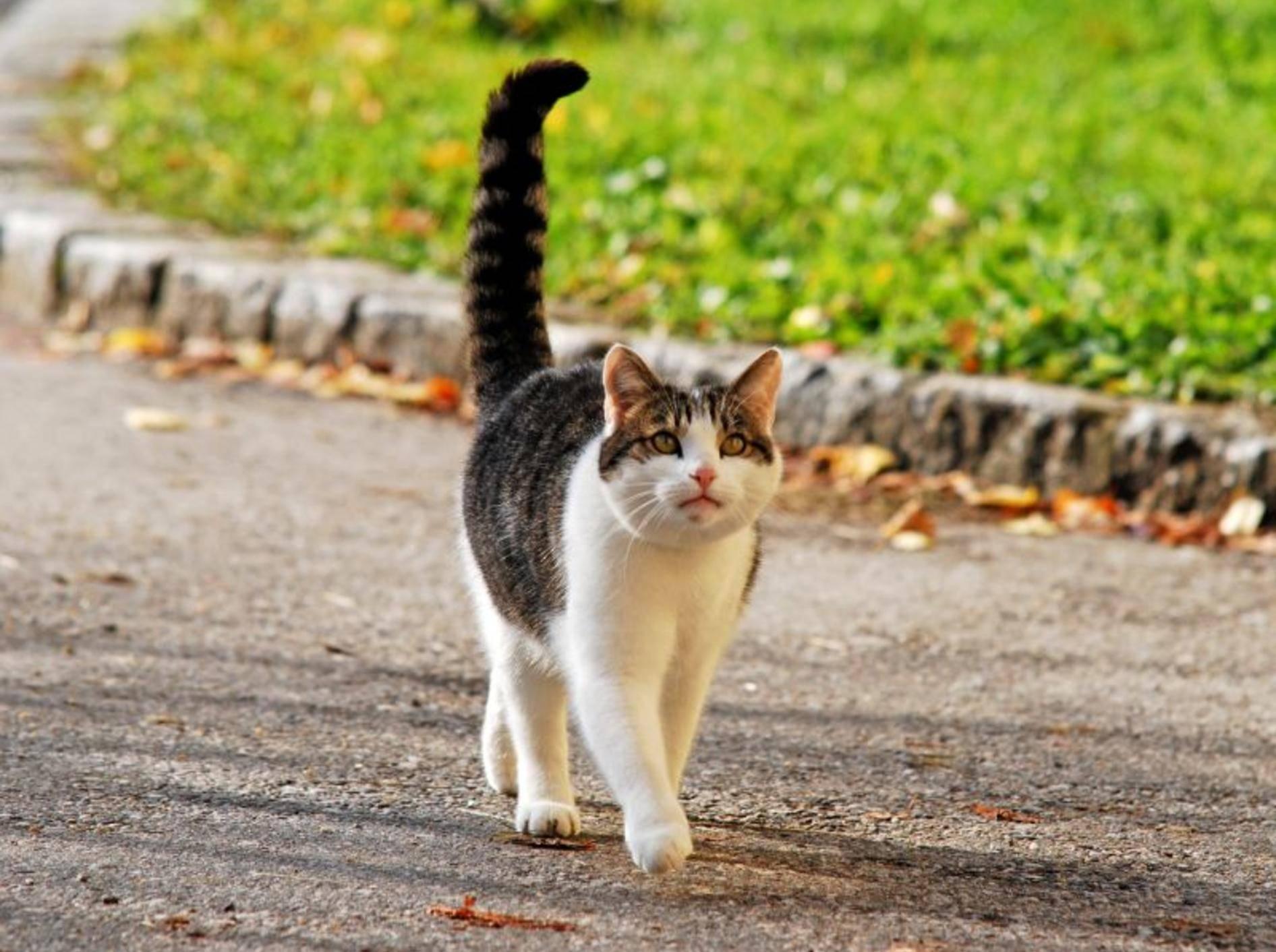 Geschlechtsreife Katzen werden mehrmals im Jahr rollig – Bild: Shutterstock / Alexandra Giese