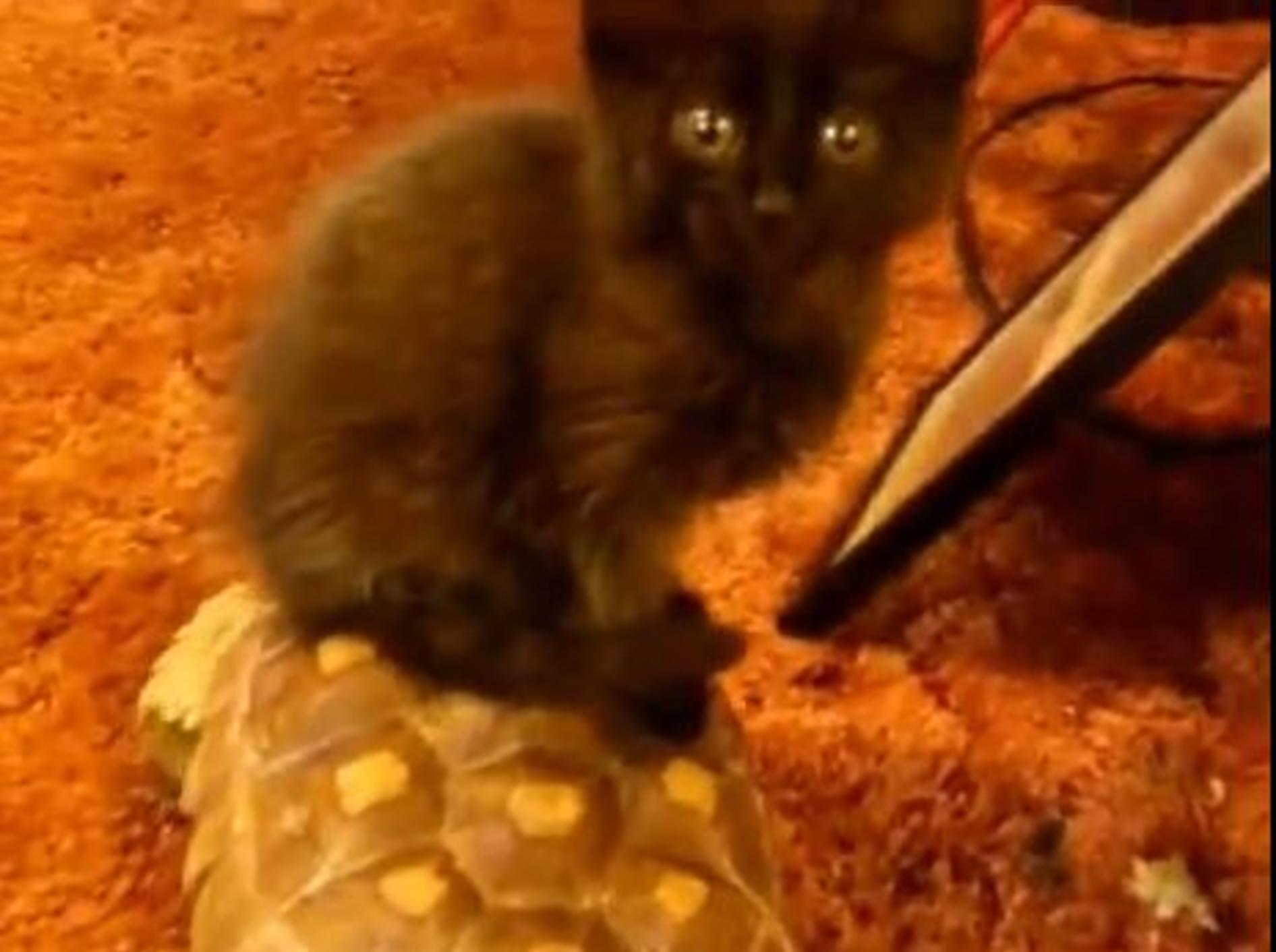 Hopplahopp: Bezaubernde Katze reitet Schildkröte — Bild: Youtube / cerino68
