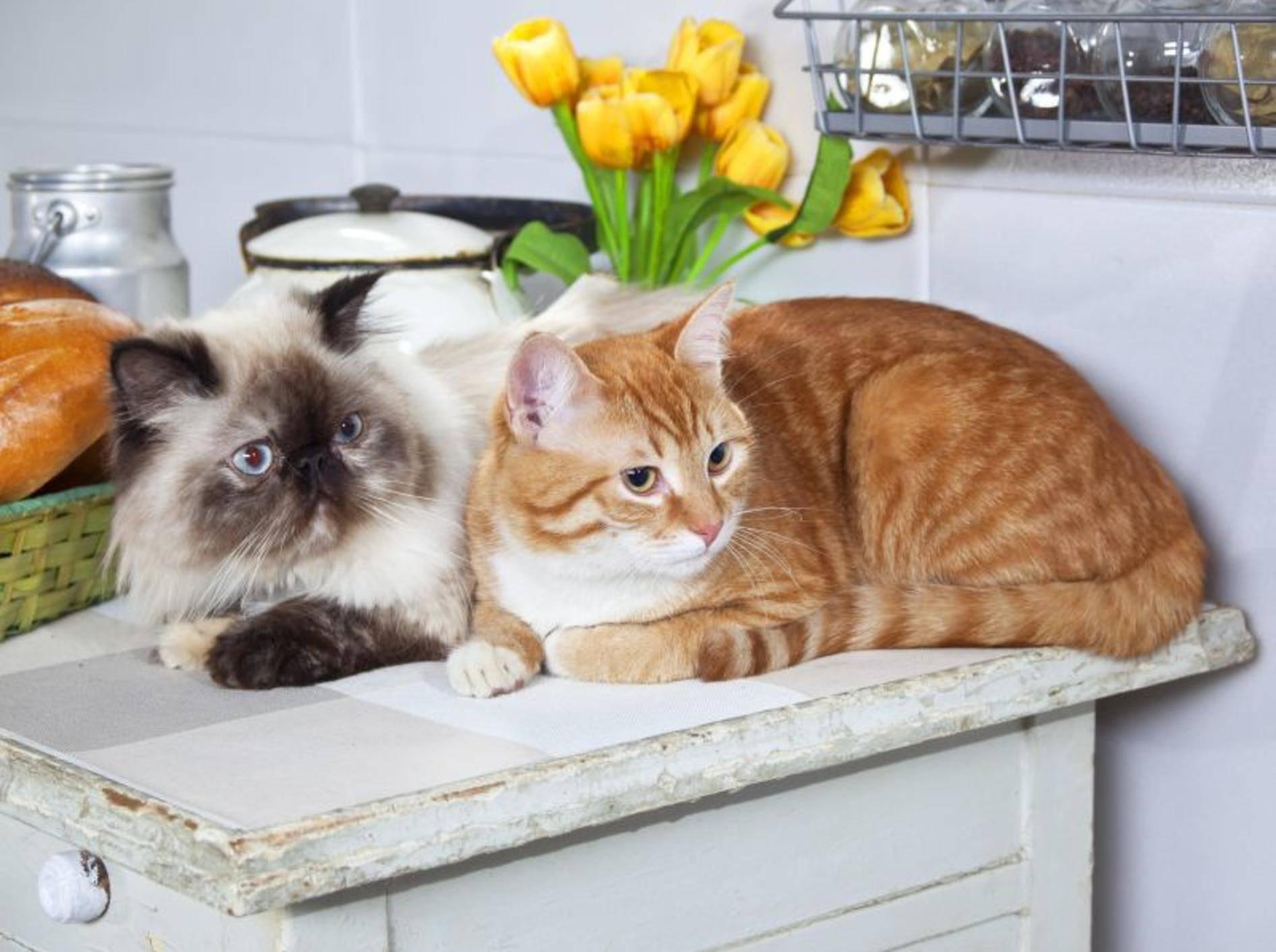 So gemütlich der Küchentisch auch ist, für Katzen sollte er Tabu sein — Bild: Shutterstock / Daria Gulenko