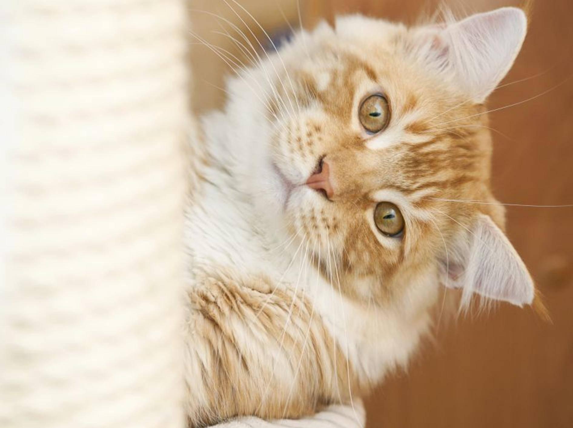 """Ein toller Stubentiger: Die Maine-Coon-Katze wird auch als """"sanfter Riese"""" bezeichnet — Bild: Shutterstock / Marten_House"""