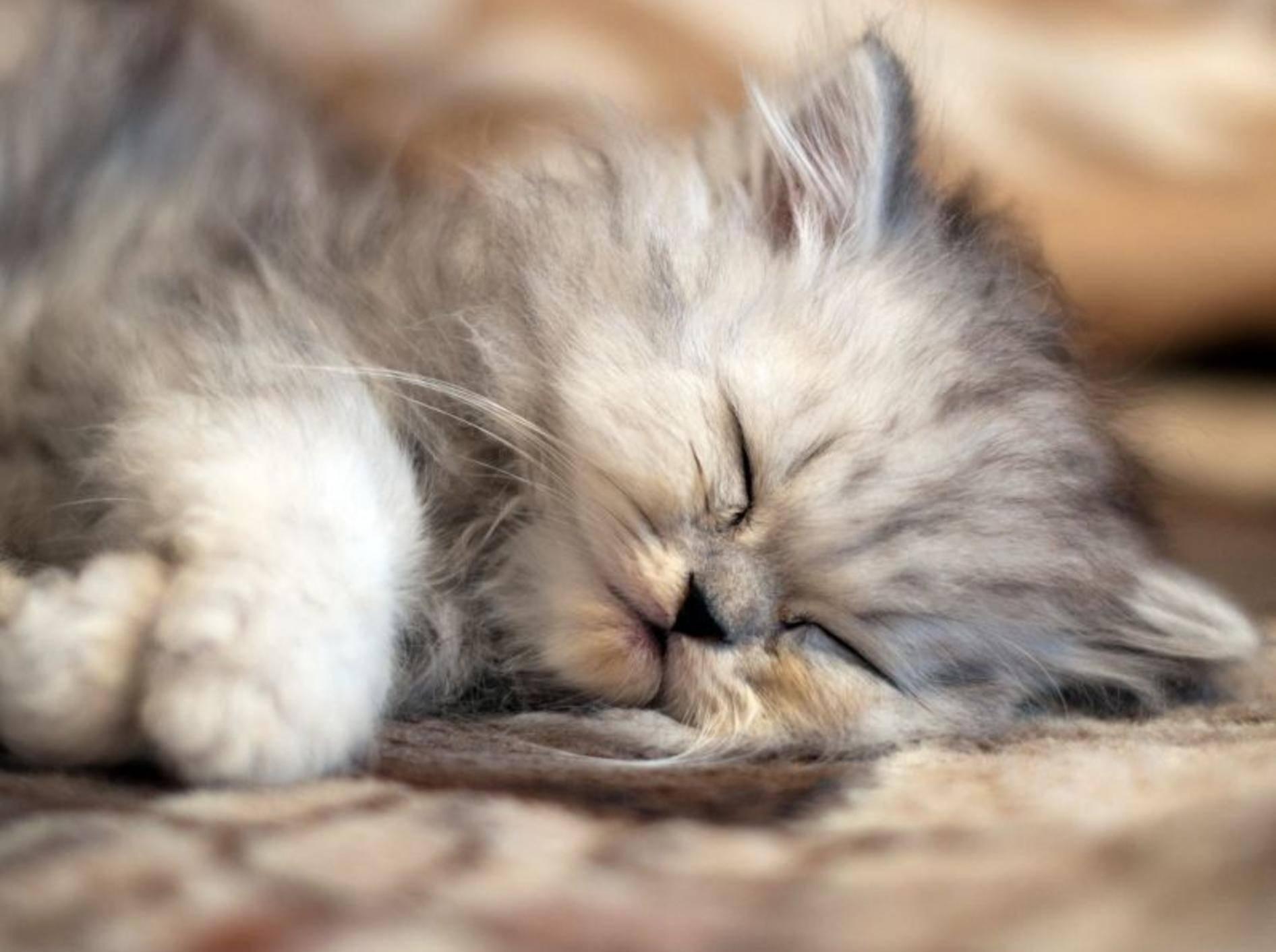 Wie kuschelig: Die Perserkatze ist ein ganz gemütlicher Typ und eignet sich gut für die Wohnungshaltung — Bild: Shutterstock / Trybex