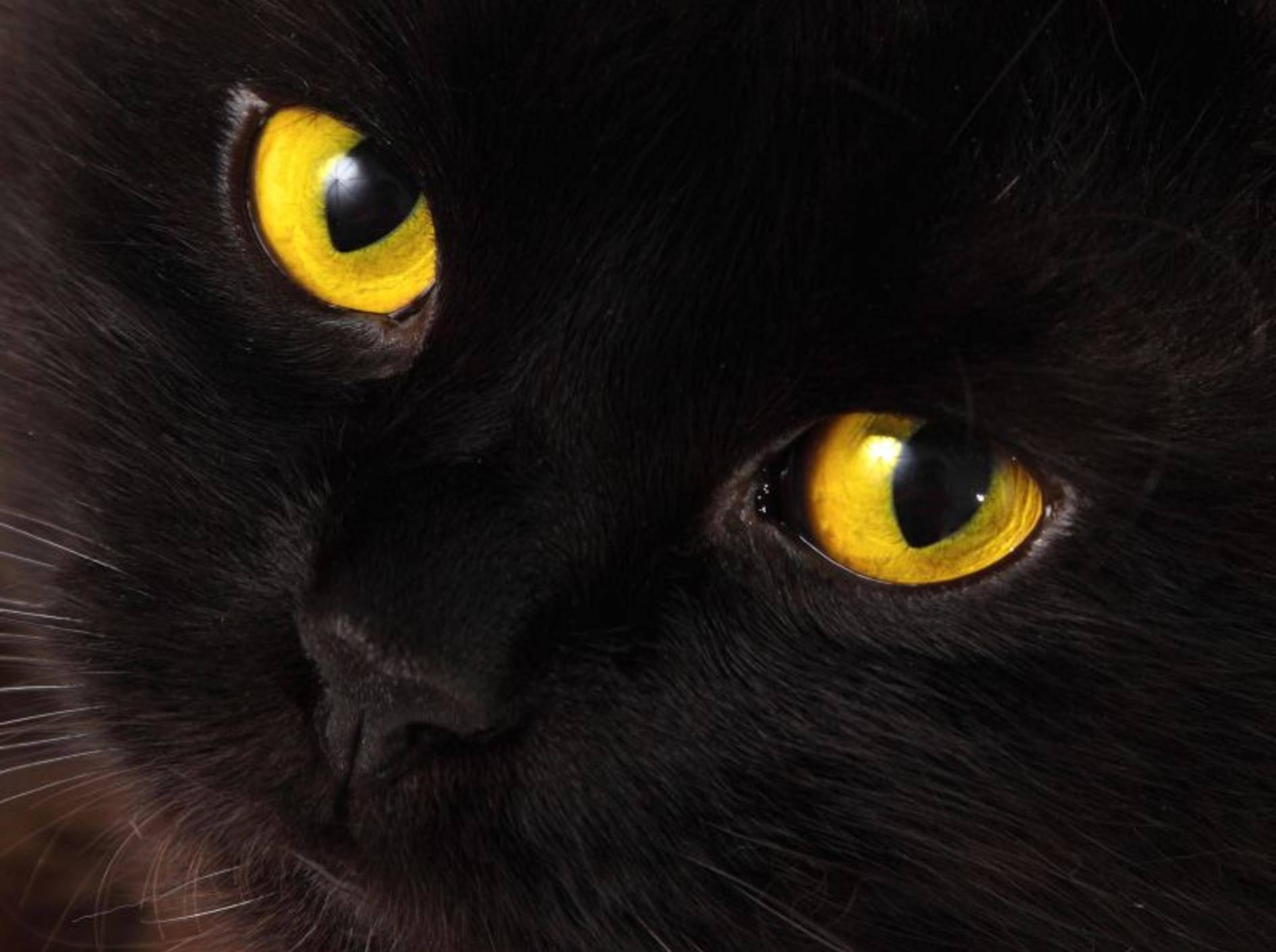 Schwarze Katze, leuchtend gelbe Augen: Bei Nacht und Nebel ganz schön unheimlich! — Bild: Shutterstock / velirina