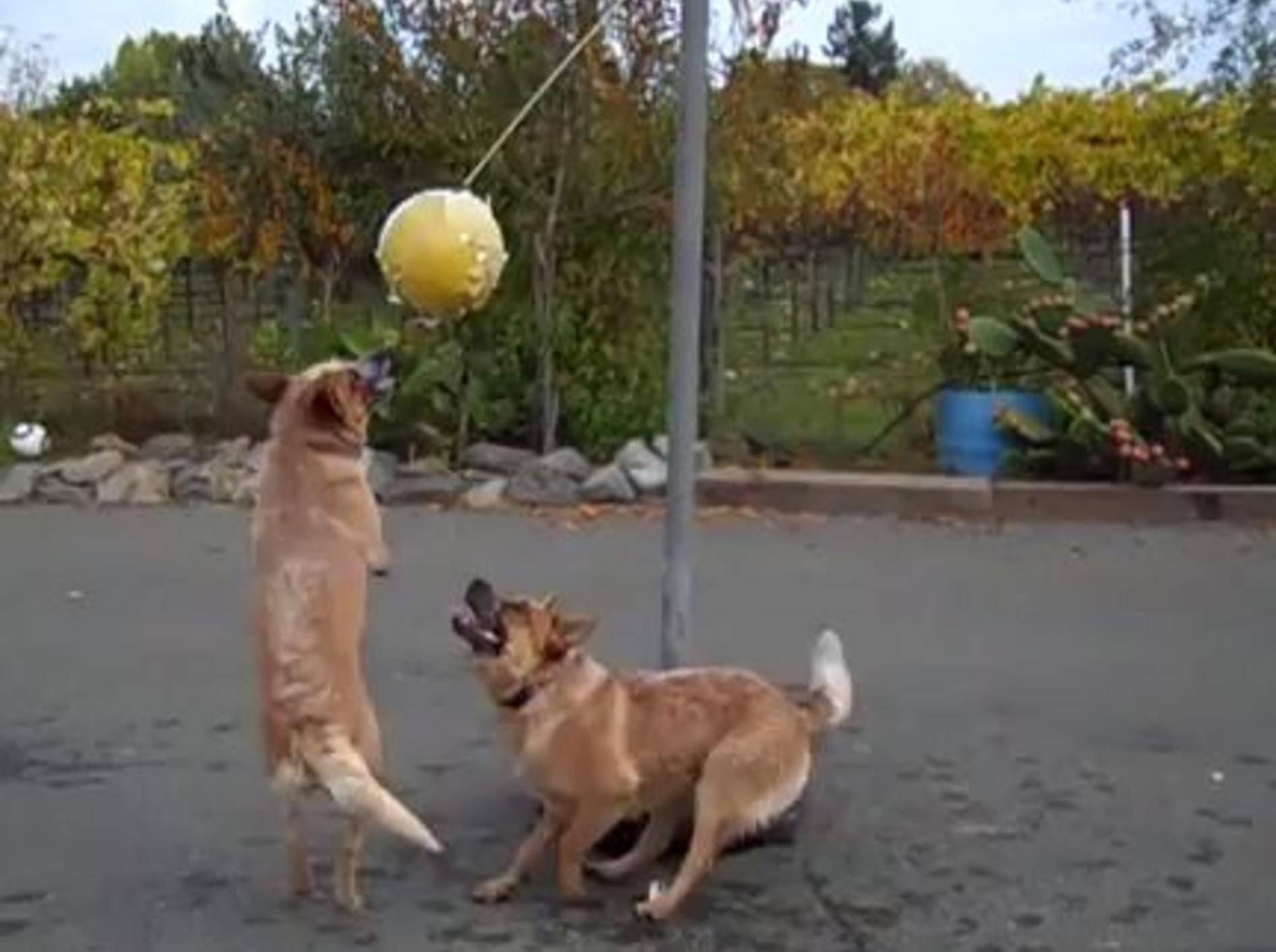 Die australischen Schäferhunde Wrangler und Doc haben Spaß am Tetherball - Bild: Youtube / 3332andisgo