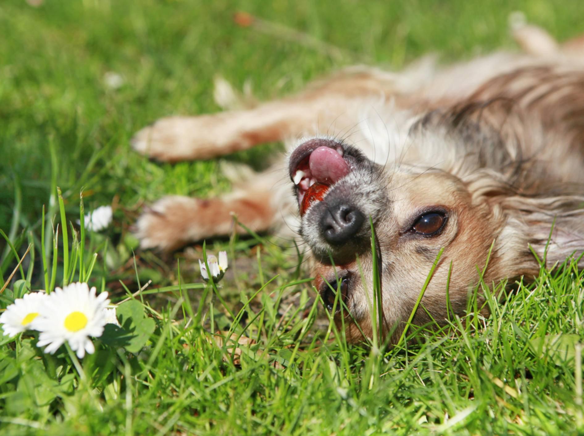 Die Körpersprache ist der Schlüssel zur Deutung des Hundeverhalten – Bild: Shutterstock / Purple Queue