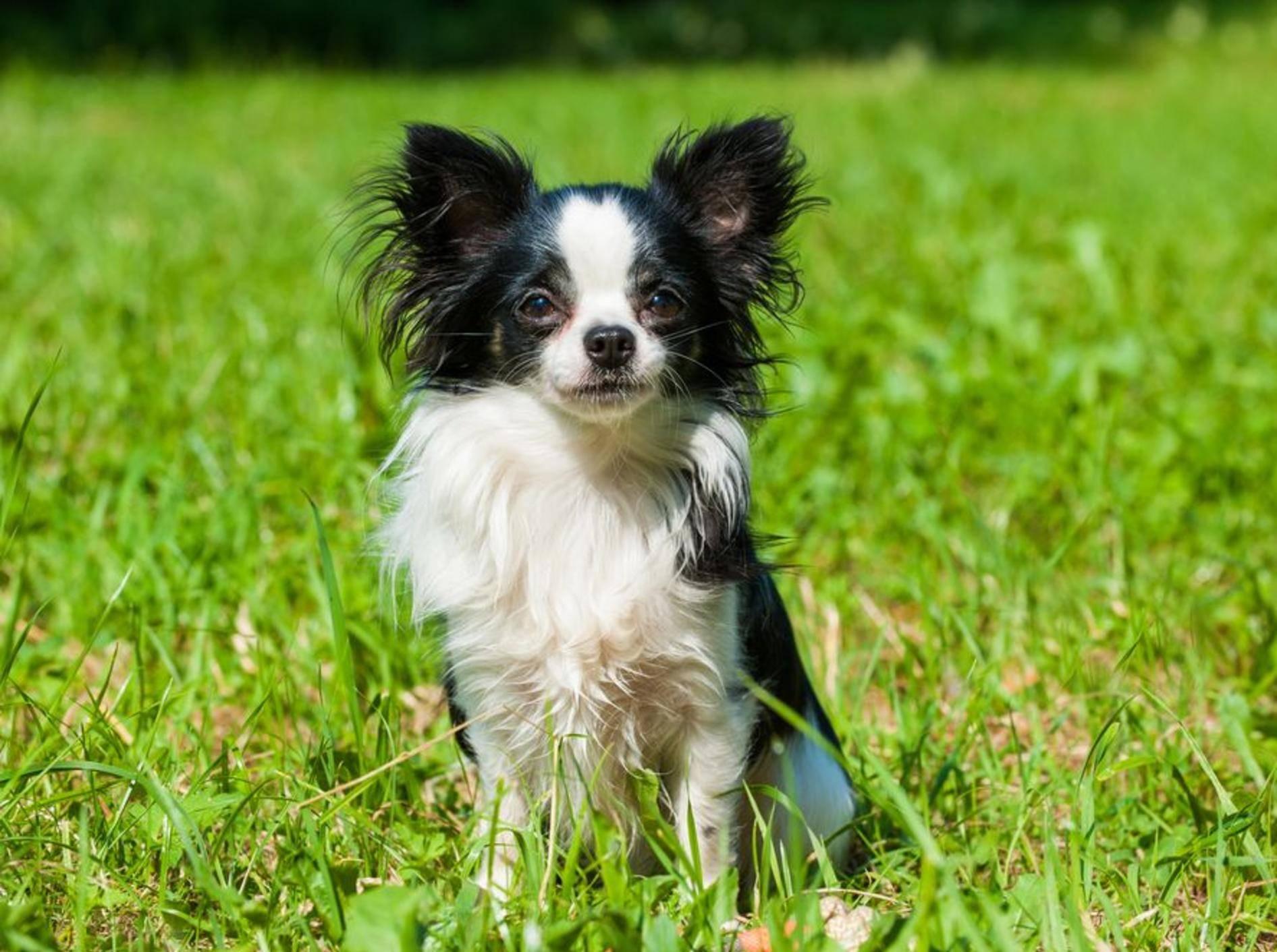 Ein Chihuahua ist kein Trendaccessoire für die Handtasche, sondern eine echte Hundepersönlichkeit. Vor dem Kauf sollten Sie daher einiges beachten. – Bild: Shutterstock / Dora Zett
