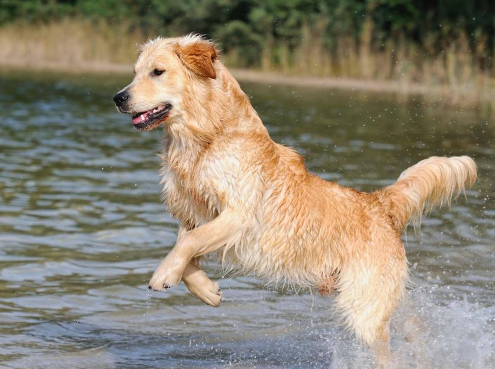 Der Golden Retriever ist ein Hund, der sich im und am Wasser pudelwohl fühlt. – Bild: Shutterstock / AnetaPics