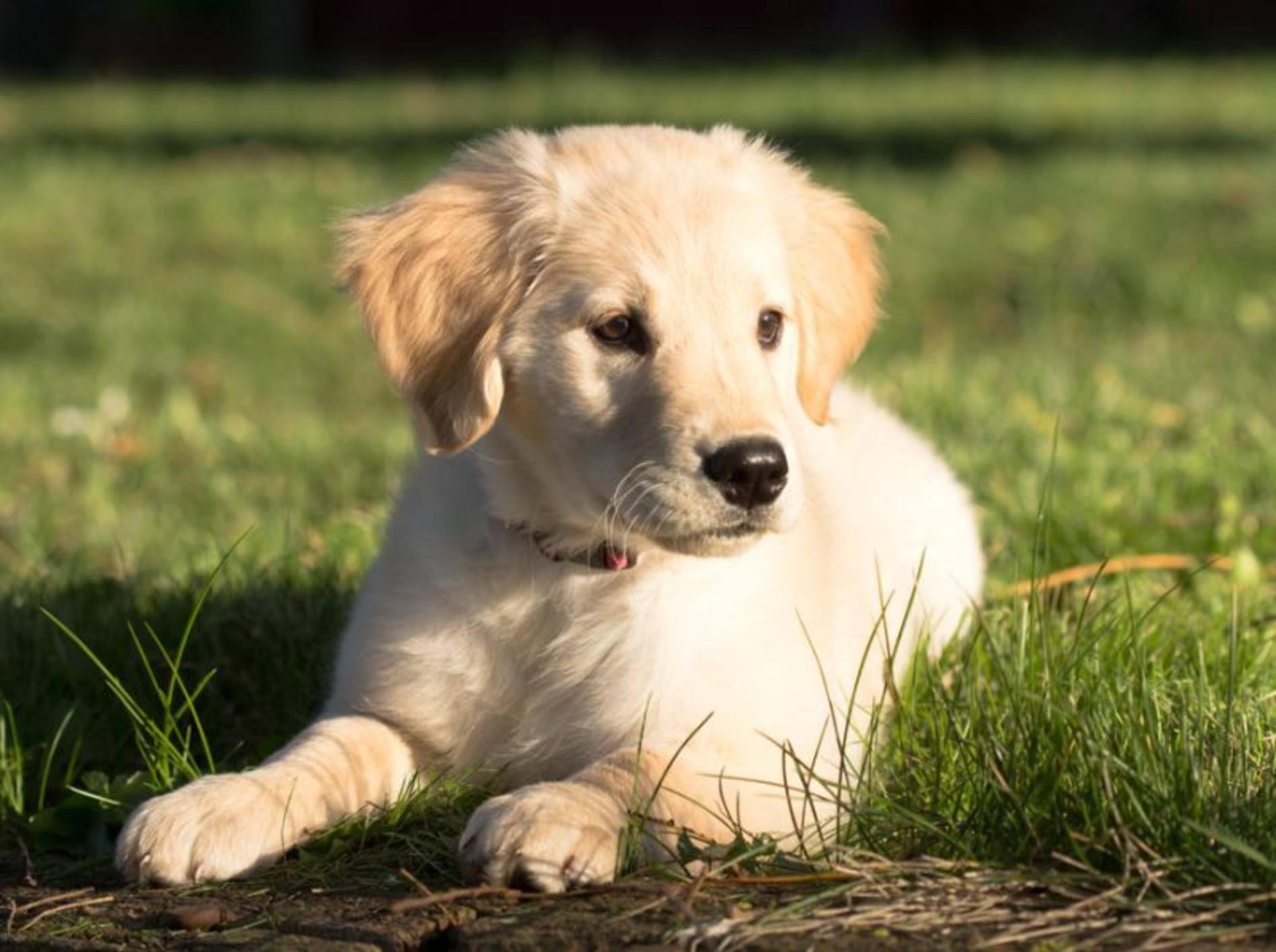 Auch dieser süße Golden Retriever Welpe wird einmal ein großer starker Hund wie seine Kollegen. – Bild: Shutterstock / Cody M Ward