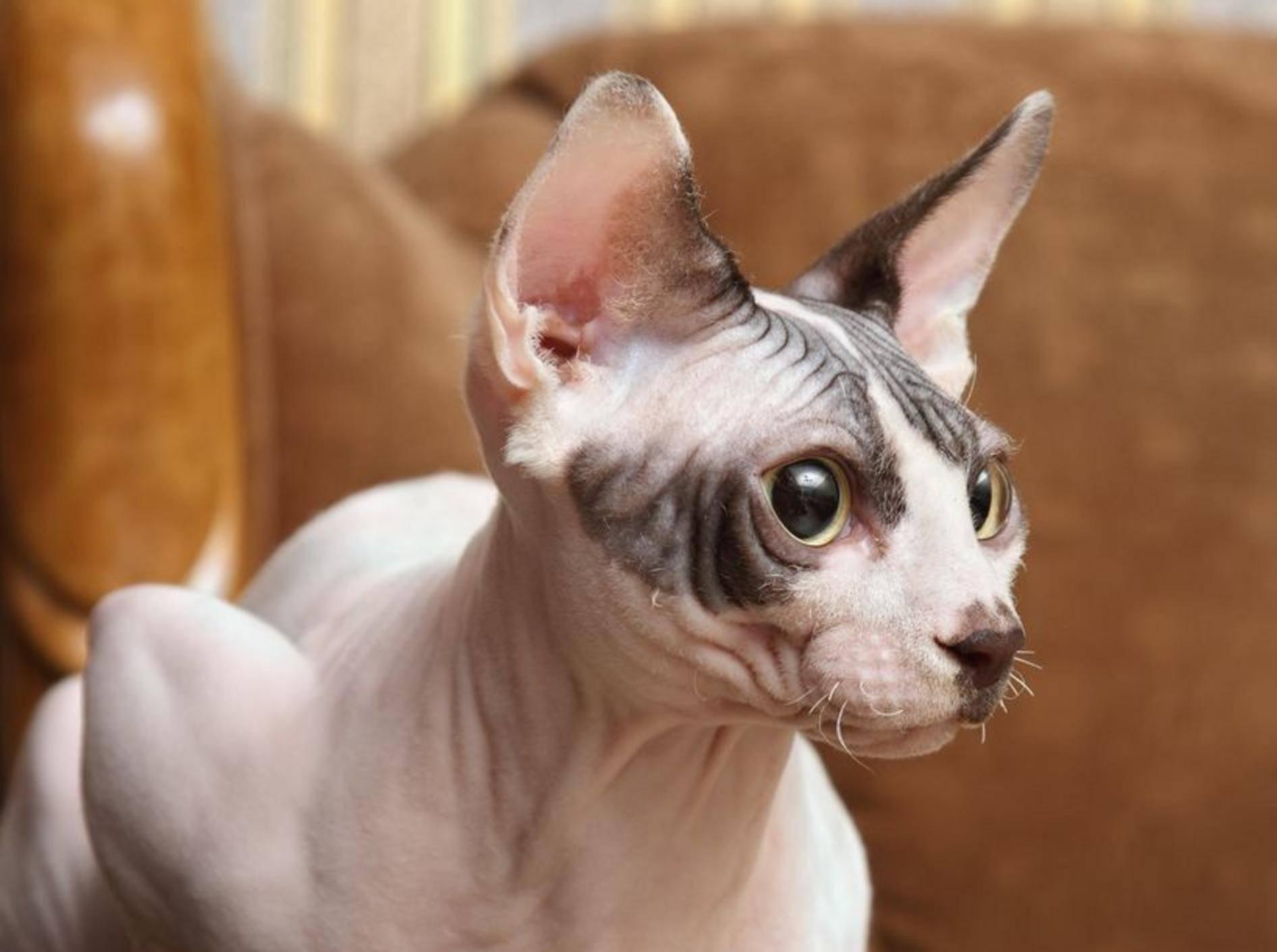 Die exotische Sphynx-Katze soll schon von den Azteken gehalten worden sein. Heutige Züchtungen stammen jedoch aus Kanada. Die verwandte Don-Sphynx stammt aus Russland. – Bildquelle: Shutterstock / Konjushenko Vladimir
