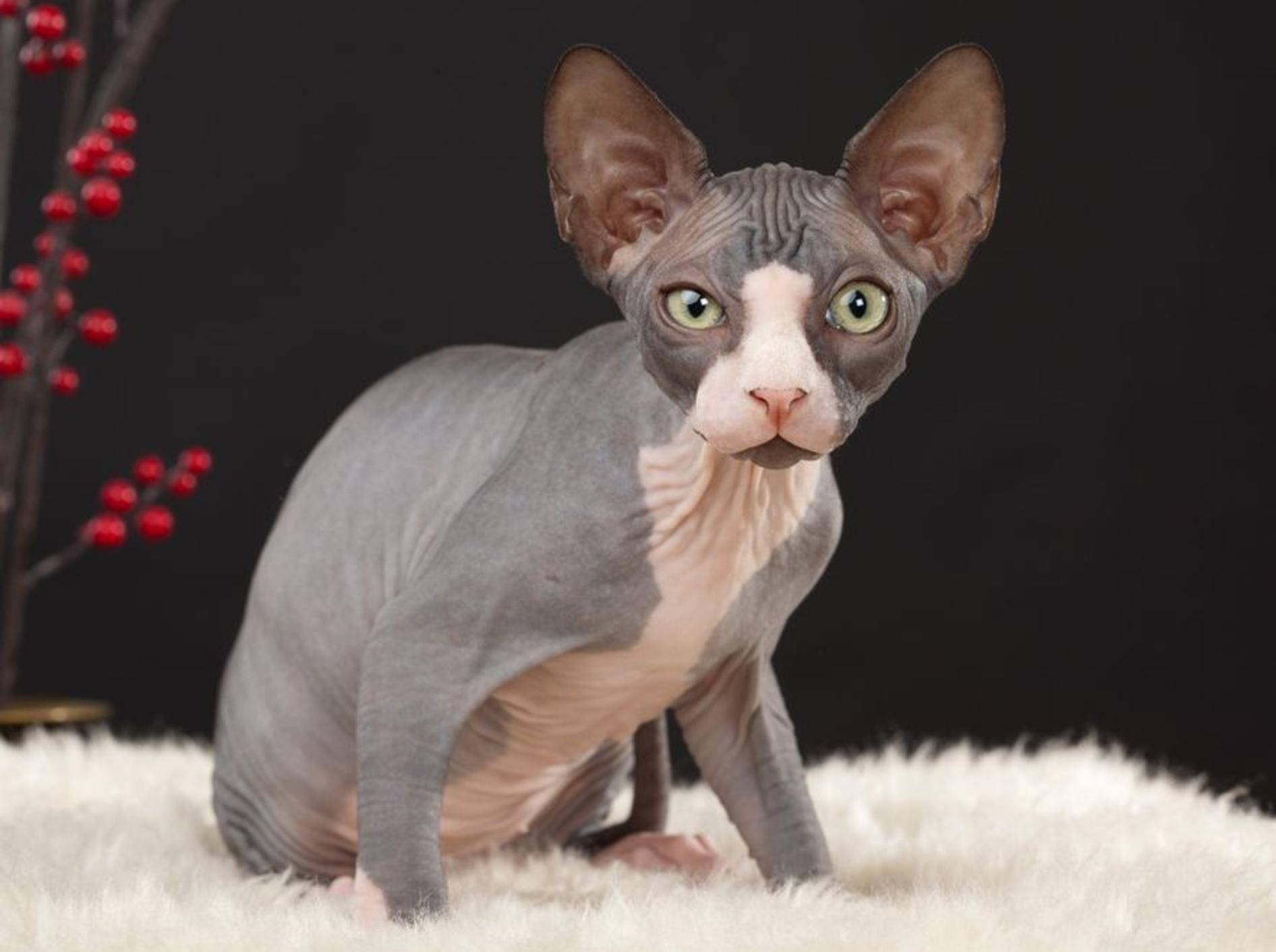 Die exotische Sphynx-Katze ist temperaturempfindlich und benötigt spezielle Pflege. - Bild: Shutterstock / Birute Vijeikiene