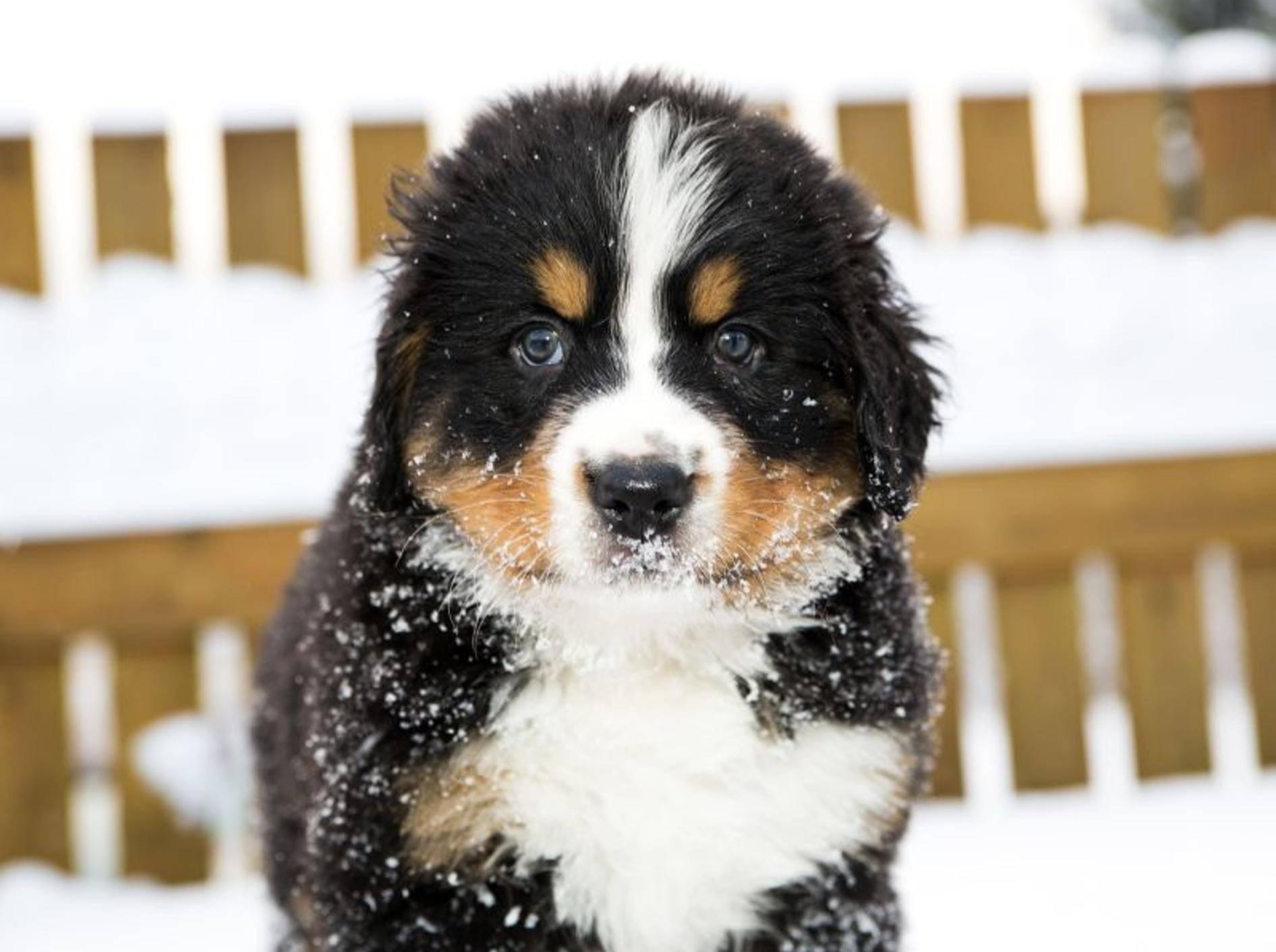 Der Berner Sennenhund als Welpe: Zuckersüß und mit einem dicken, dreifarbigen Fell — Bild: Shutterstock / Einar Muoni