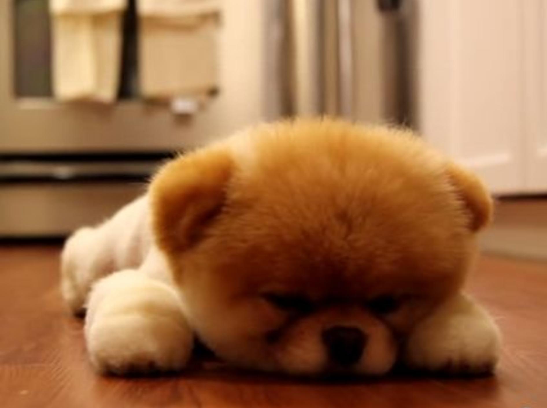 Boo, der süßeste Hund der Welt, ist sooo müde! — Bild: Youtube / AndrewtMason