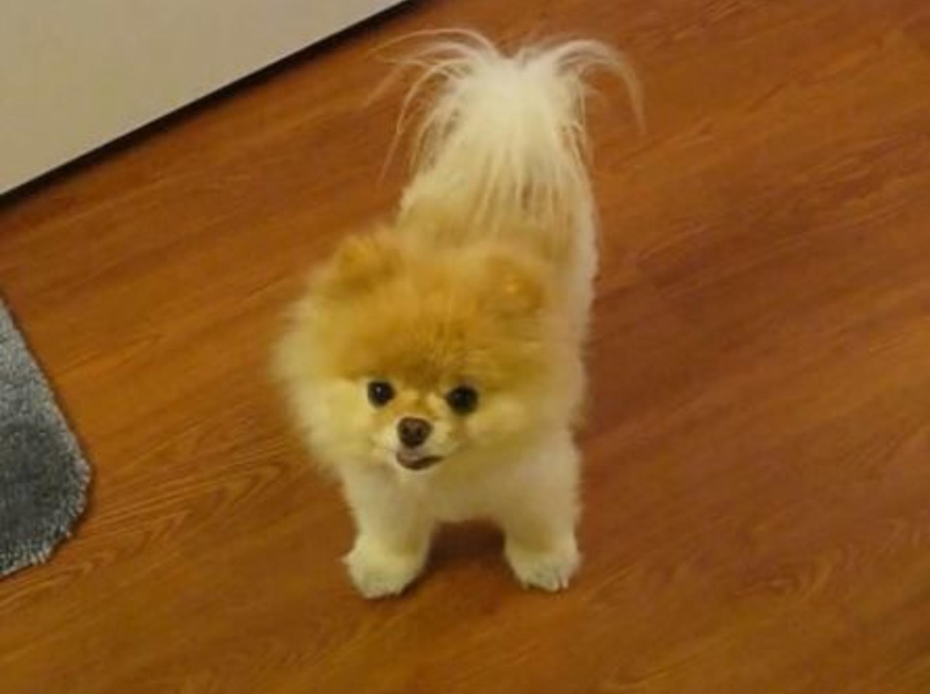 Best of Boo: Süßer Teddy-Hund zeigt sein Zuhause — Bild: Youtube / PuppyLoverJ