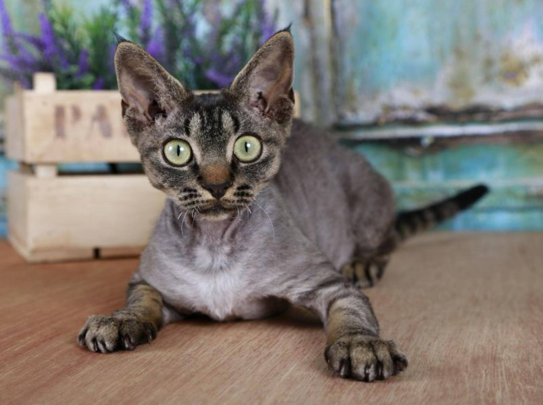 Die Devon Rex aus Großbritannien ist nicht nur an ihrem besonderen, lockigen Fell sondern auch an den großen Ohren und der prägnanten Kopfform erkennbar — Bild: Shutterstock / Berlina