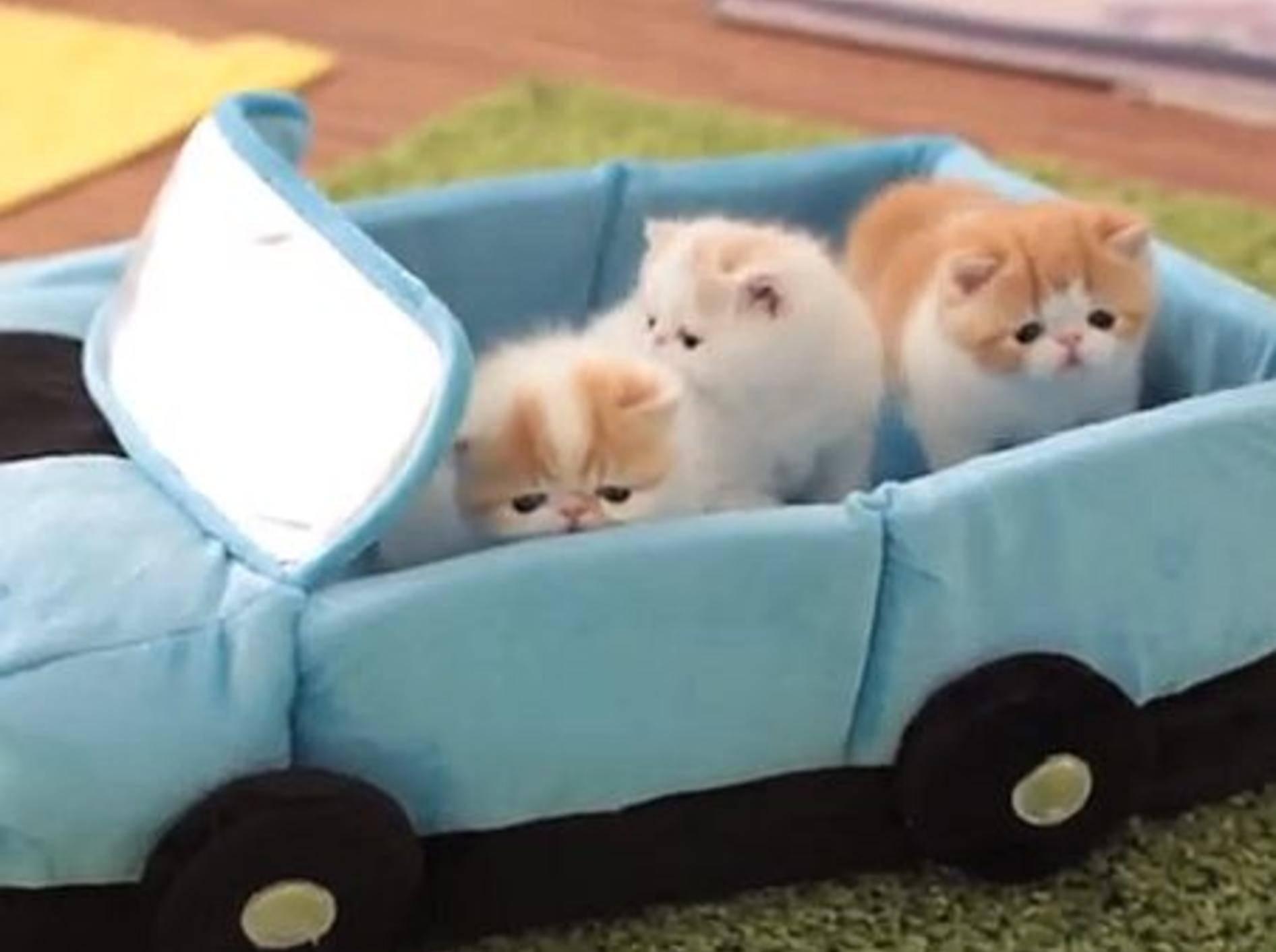 Exotische Kurzhaar Katzenbabys fahren Auto — Bild: Youtube / sweetfurx4